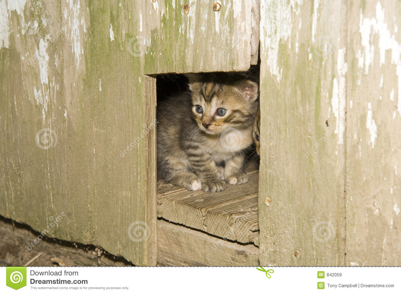 Kitten peeking out of a hole in a wooden door
