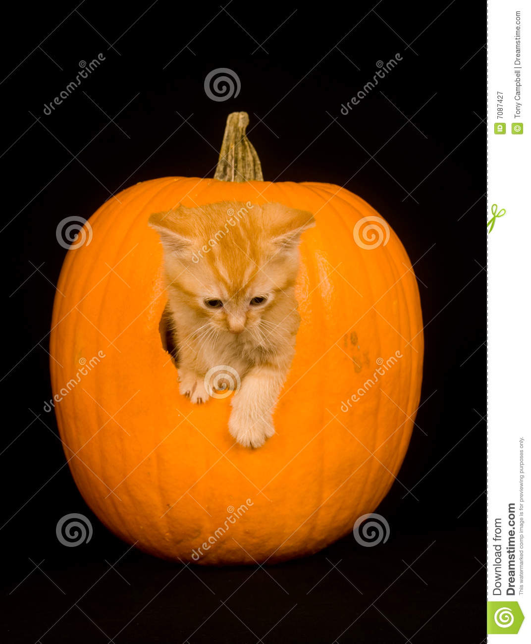 Kitten peeking out of pumpkin royalty free stock for Cat carved into pumpkin