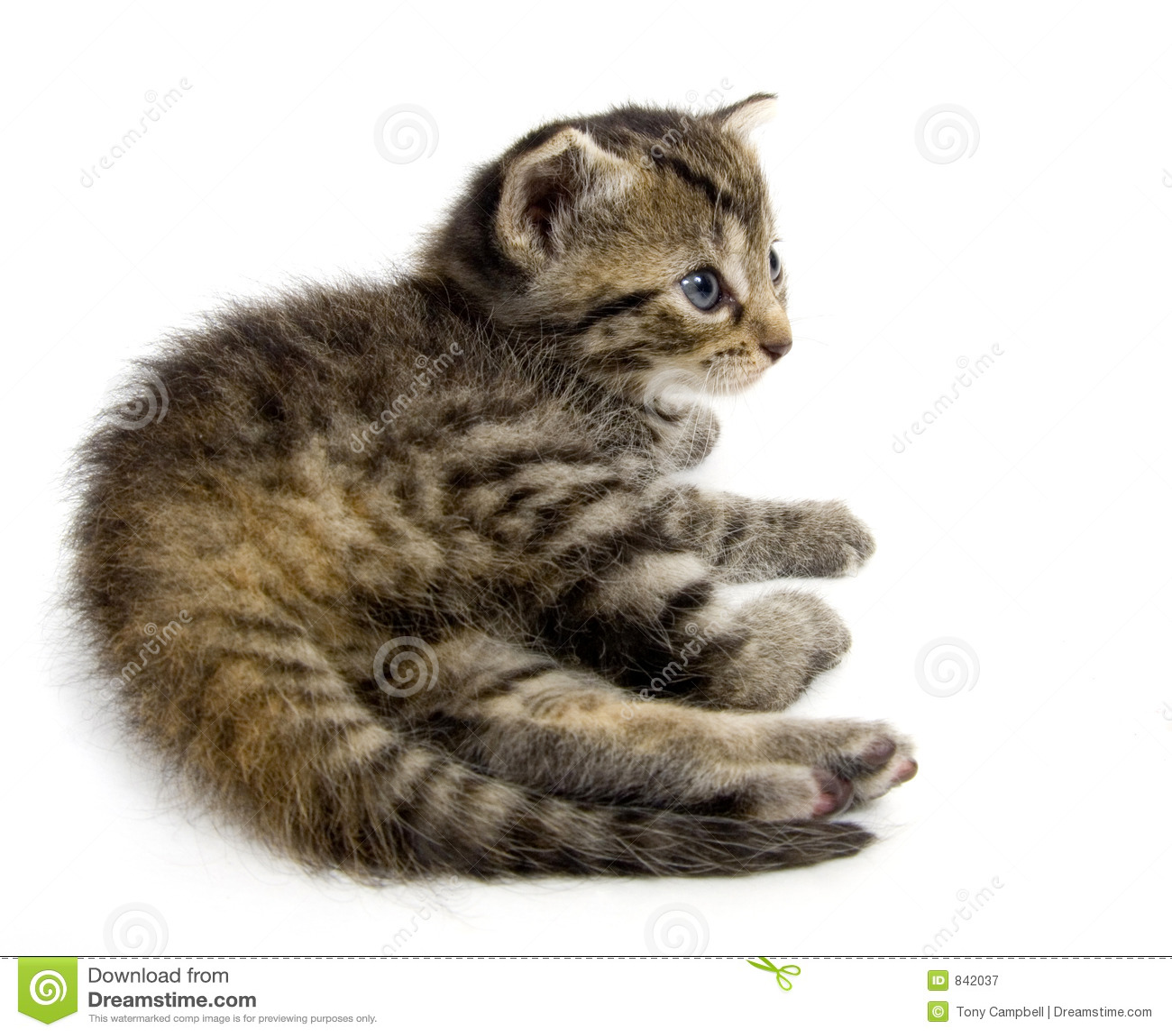 Kitten resting on white background (15mm wide)