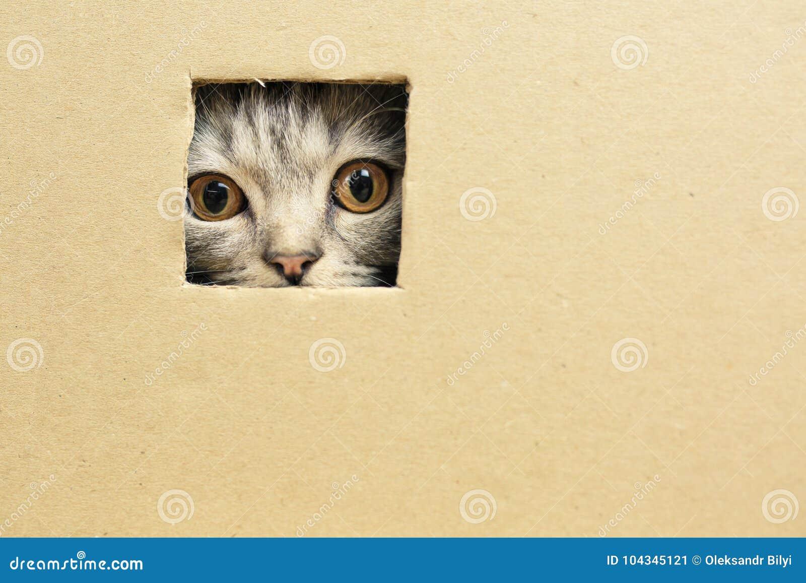 kitten sitting in a cardboard box, looks through a hole