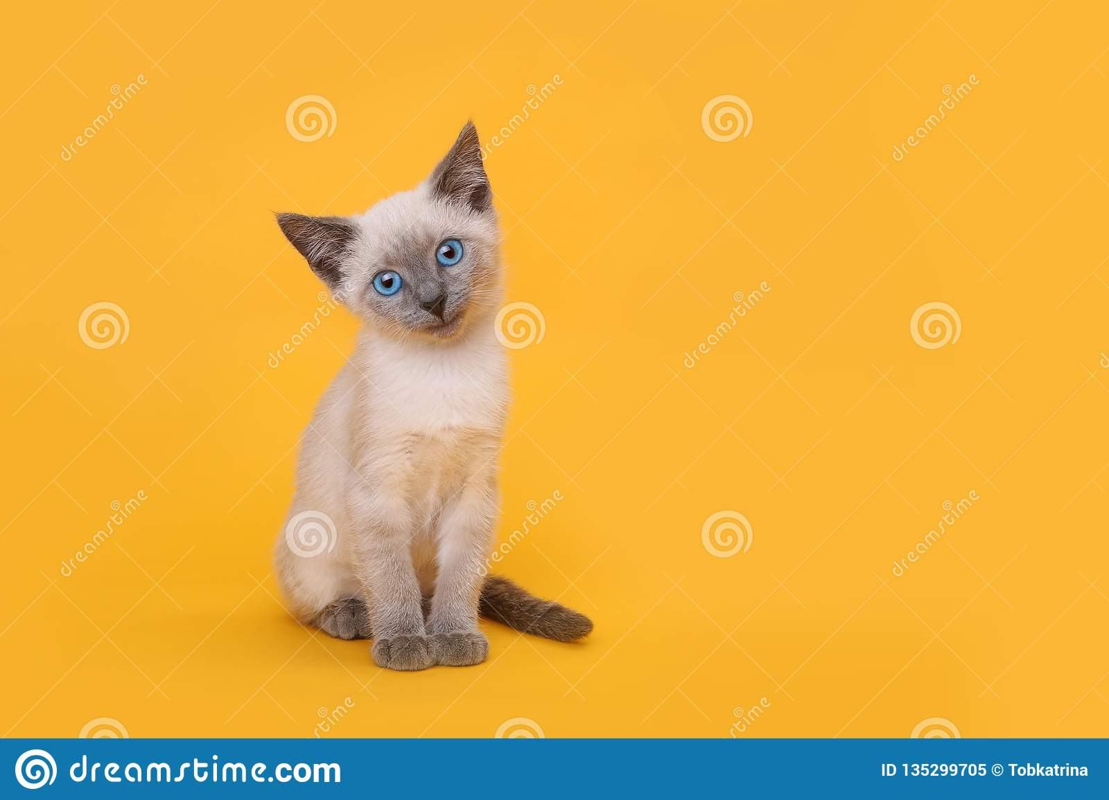 Kitten Smiling With Head Tilted siamoise sur le fond jaune