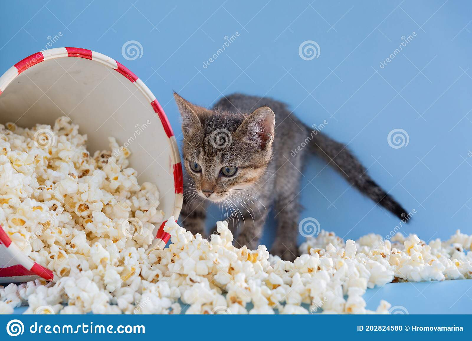 Kitten Sprinkled A Bucket Of Popcorn On A Blue Background Stock Photo Image Of Fresh Snack 202824580