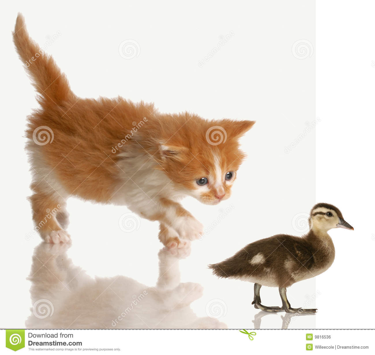 kitten stalking a baby duck royalty free stock image duck hunting clip art for cricut duck hunting clip art commercial use
