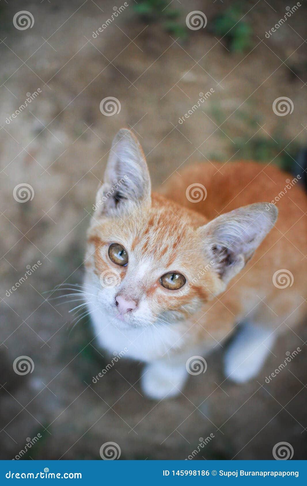 Kitten Thai-de kat of de kat van Siam in oranje kleurenzitting ter plaatse in de tuin en het bekijken camera die op hoogste menin