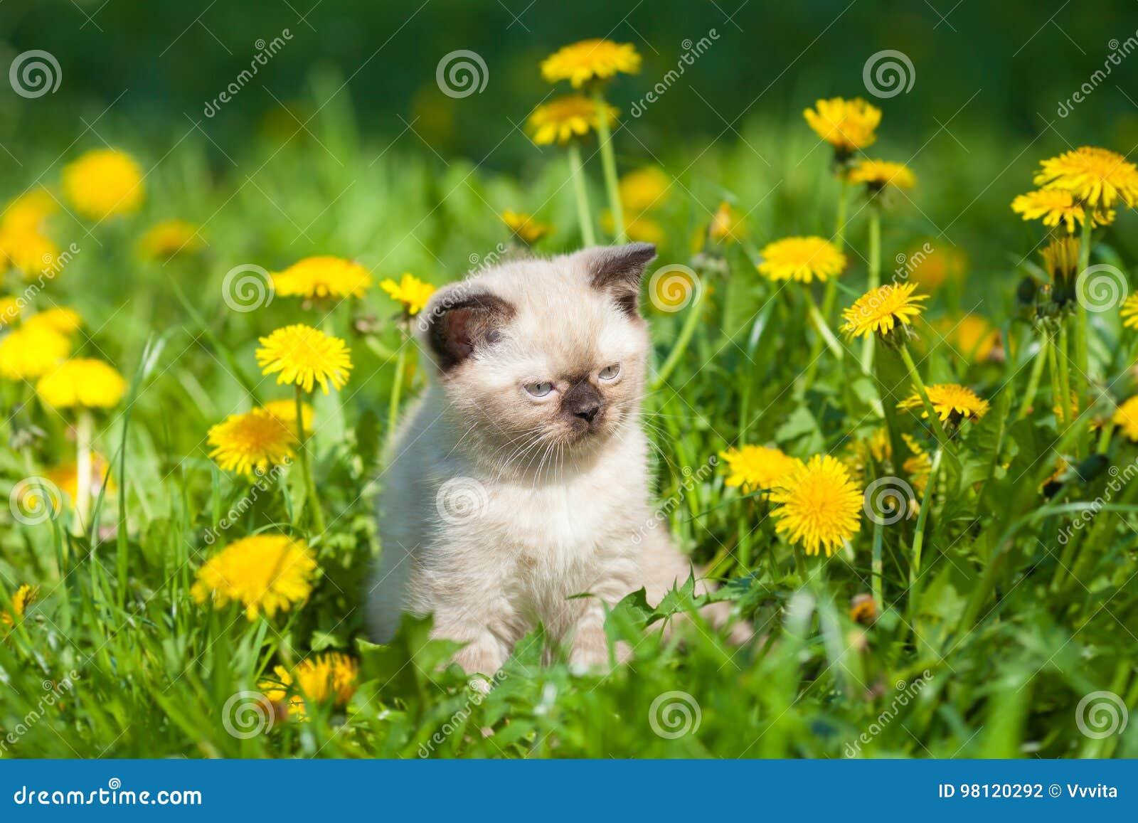 Kitten walking in dandelion lawn