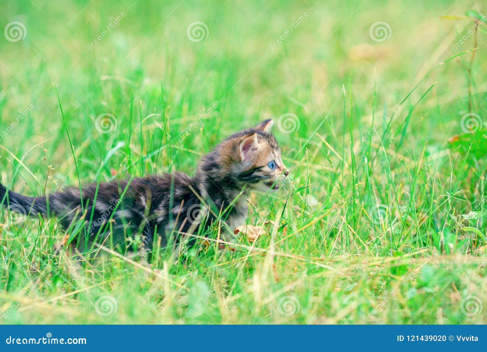 Kitten walking on the grass