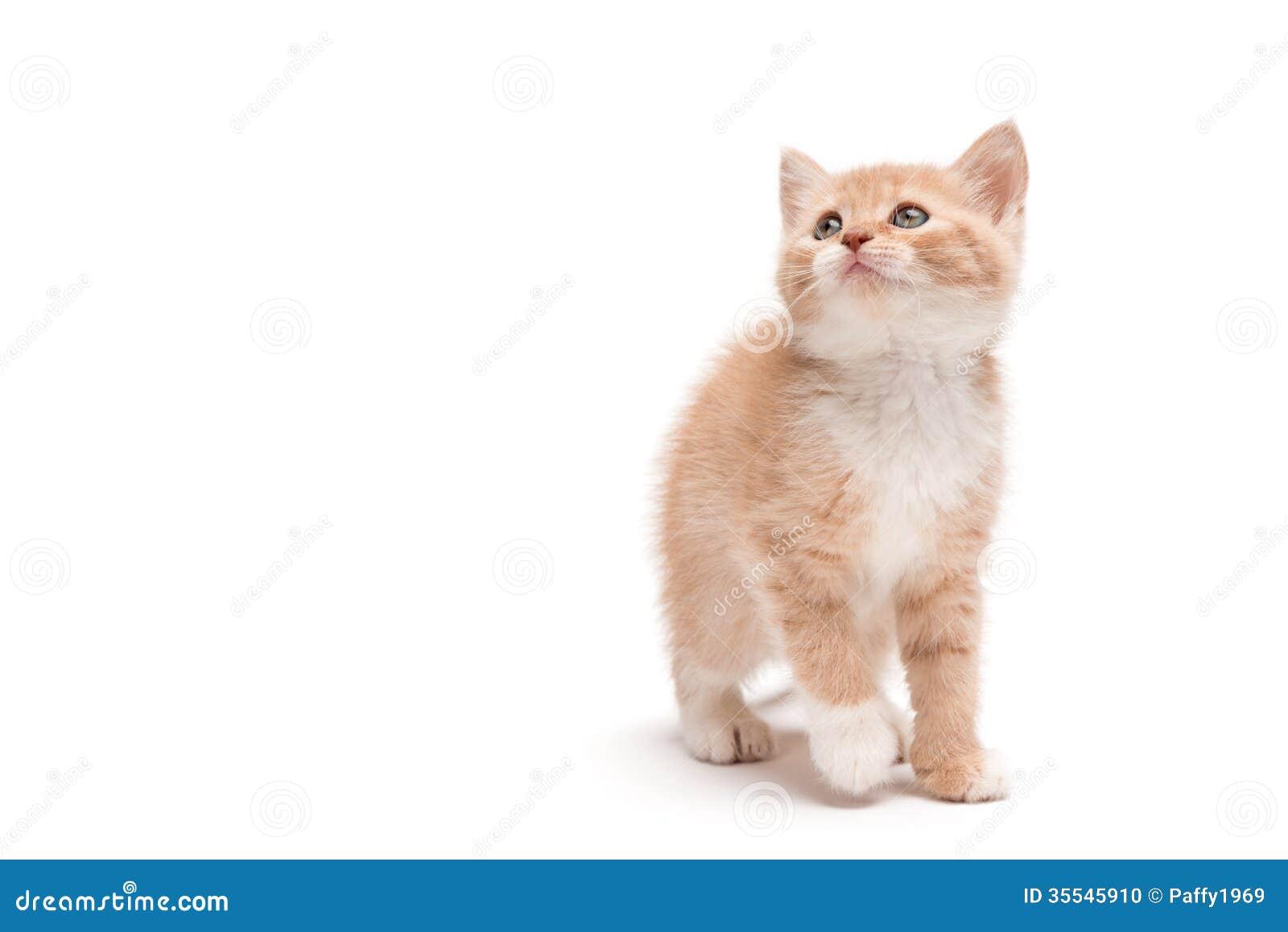 Kitten walking in studio looking up