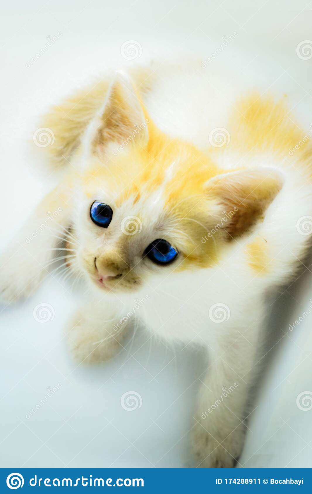 Photo Of Orange Stripped Kitten Persian Cross Kittens And Local Cats Stock Image Image Of Domestic Funny 174288911
