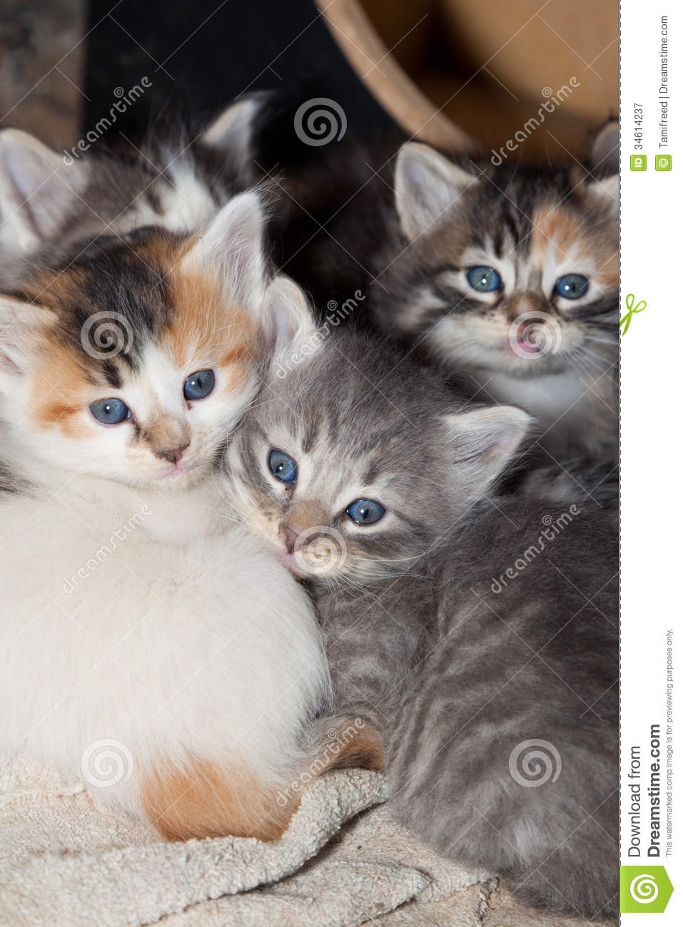 Kittens Fluffy Calico Grey Stripped Cuddled Together Old Towel