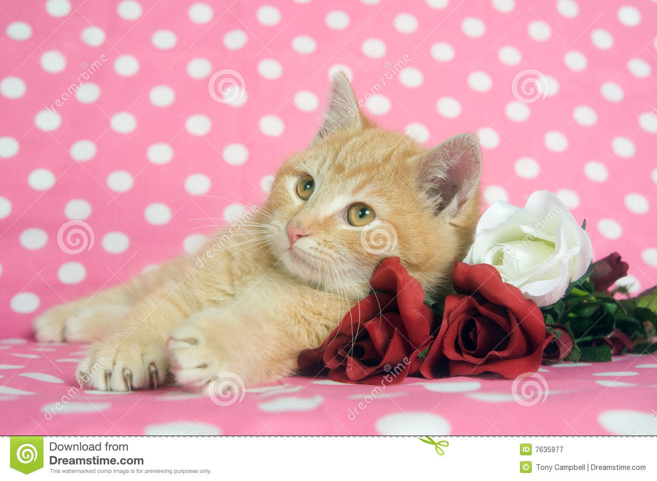 Kittens And Roses For Valentines Day Stock Image Image Of Rest