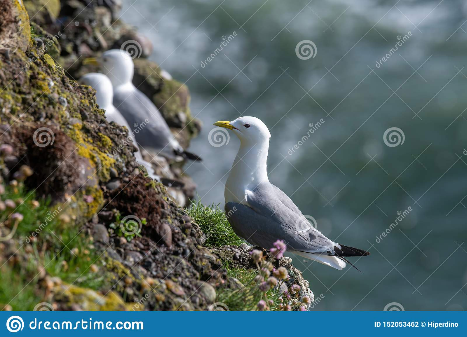 Kittiwake Rissa tridactyla on the cliffs of the Isle of May
