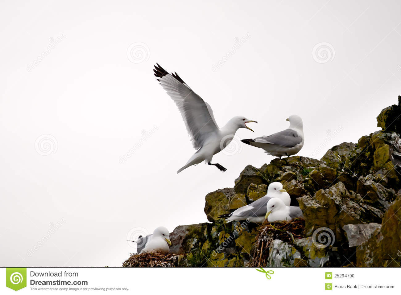 Kittiwakes On Cliff Edge