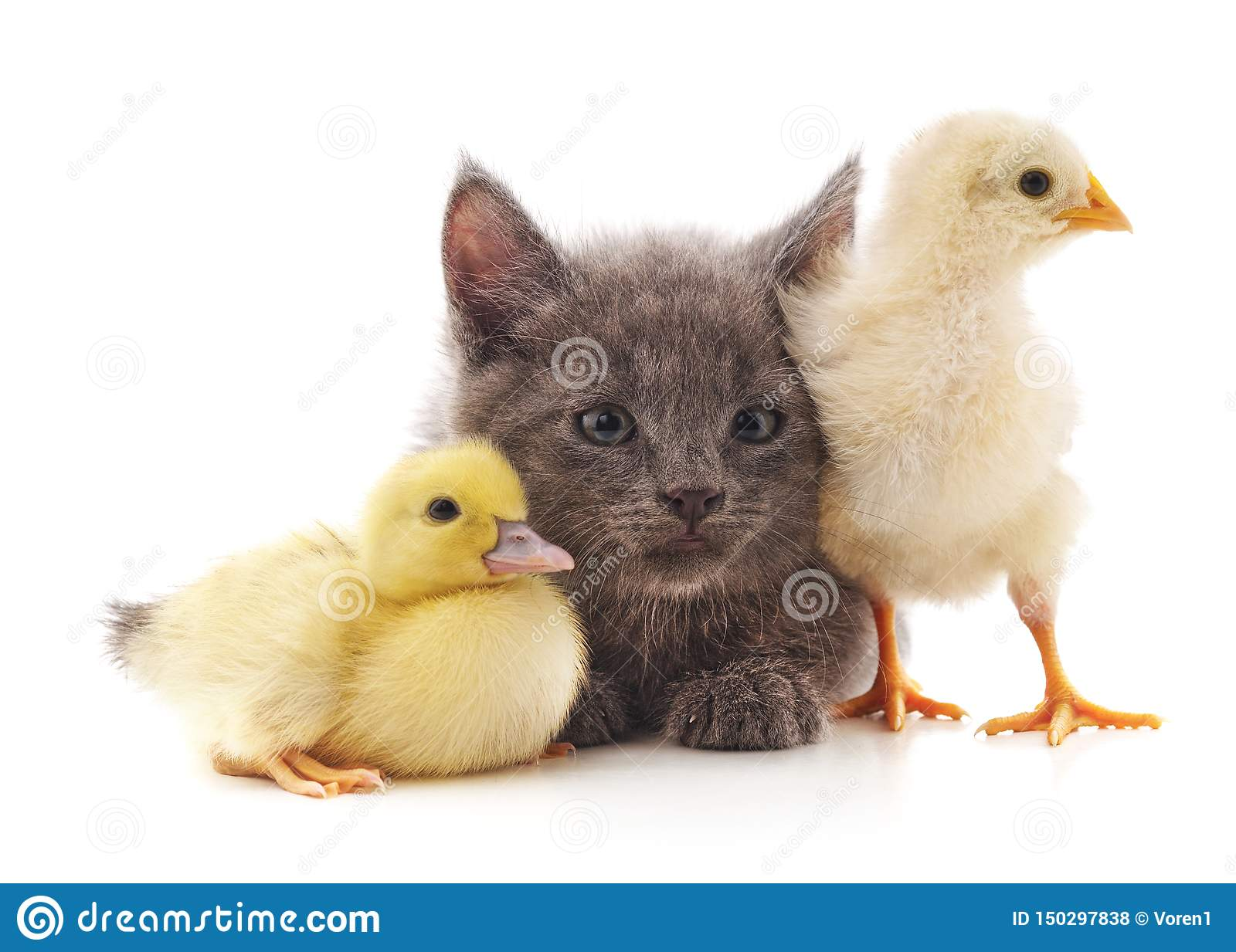 Kitty chicken and duck