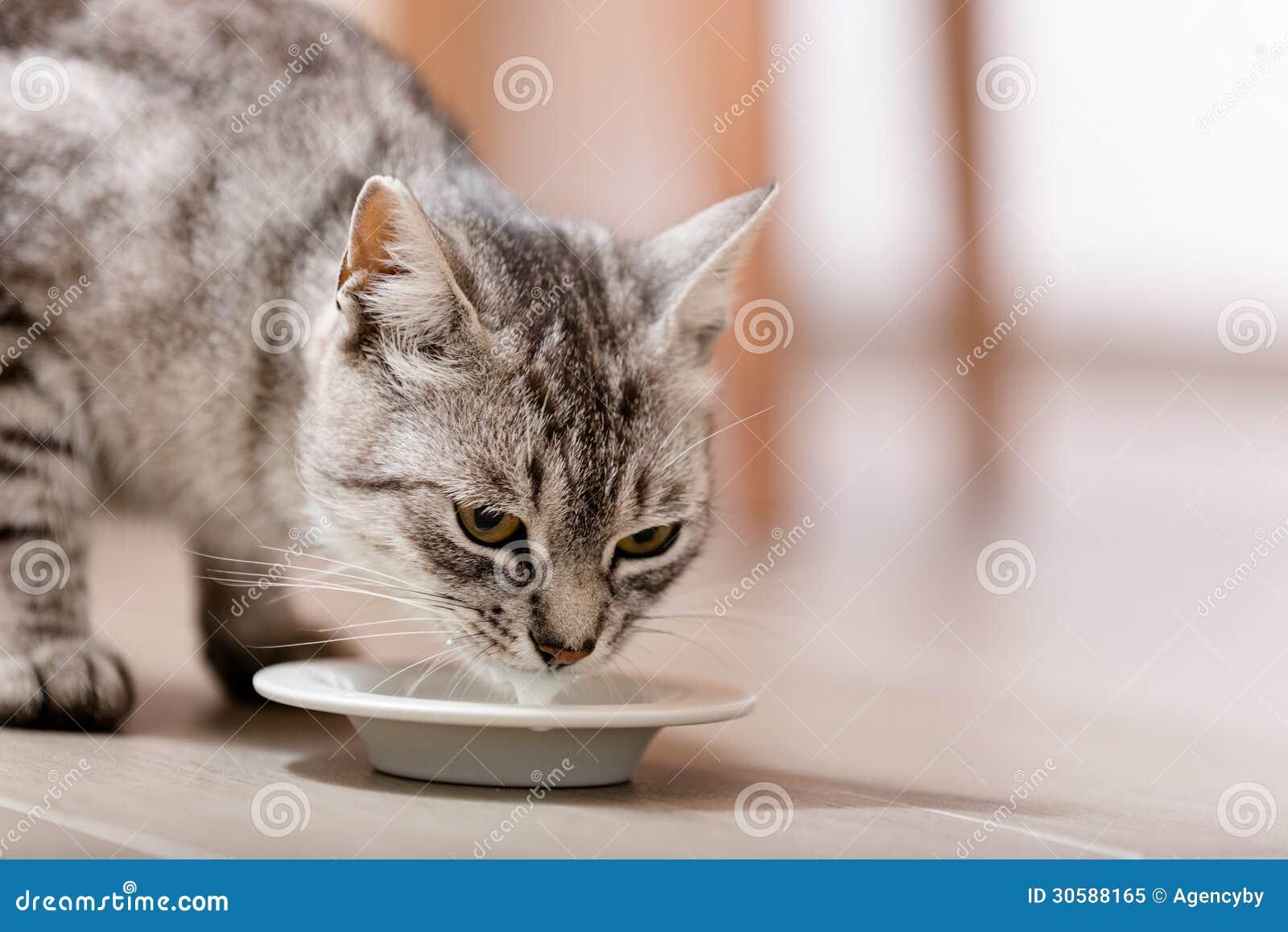Kitty drinking milk