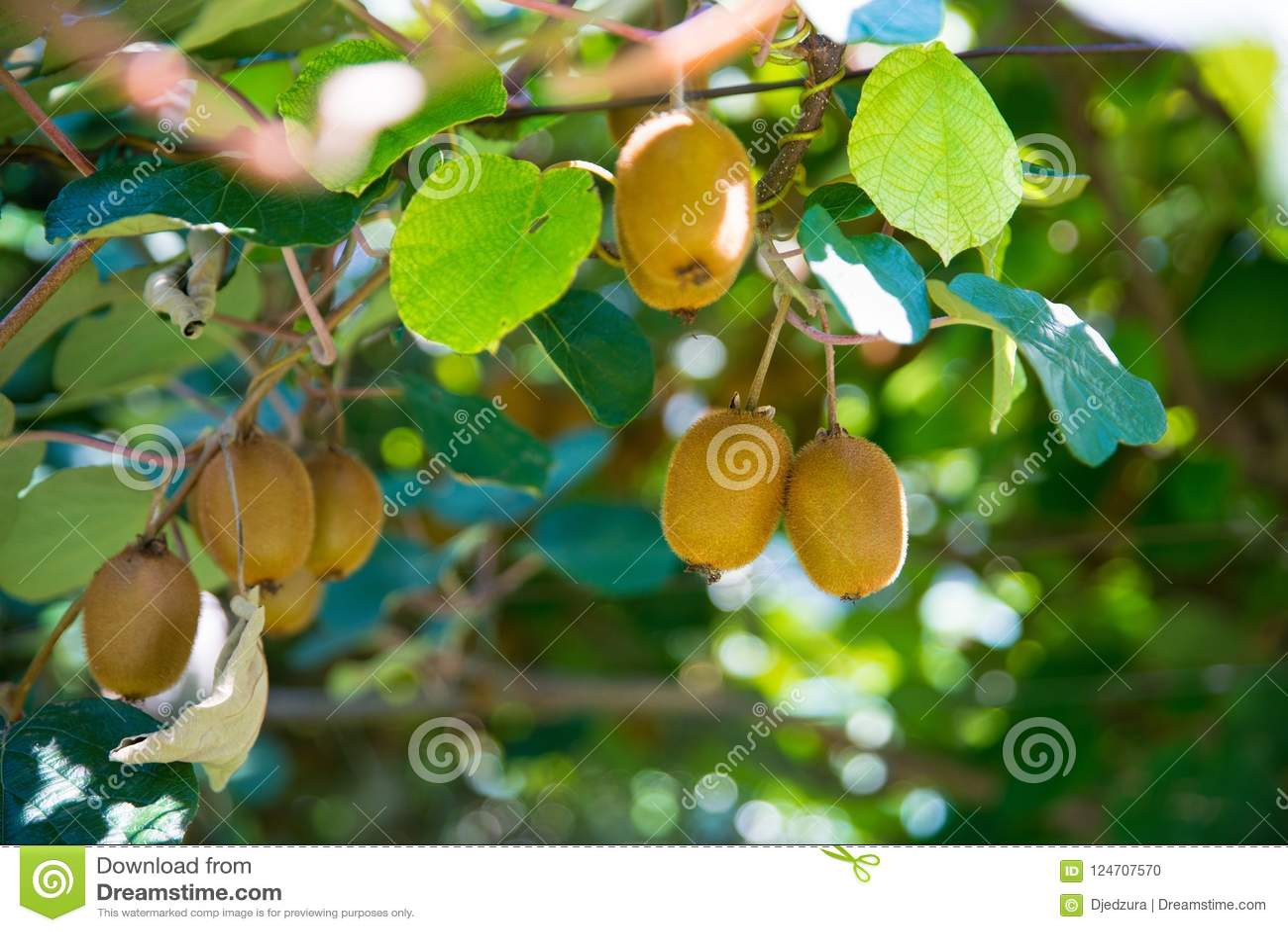 Außergewöhnlich Kiwi Auf Baum Auf Kiwiplantage In Italien Stockfoto - Bild von &JI_95