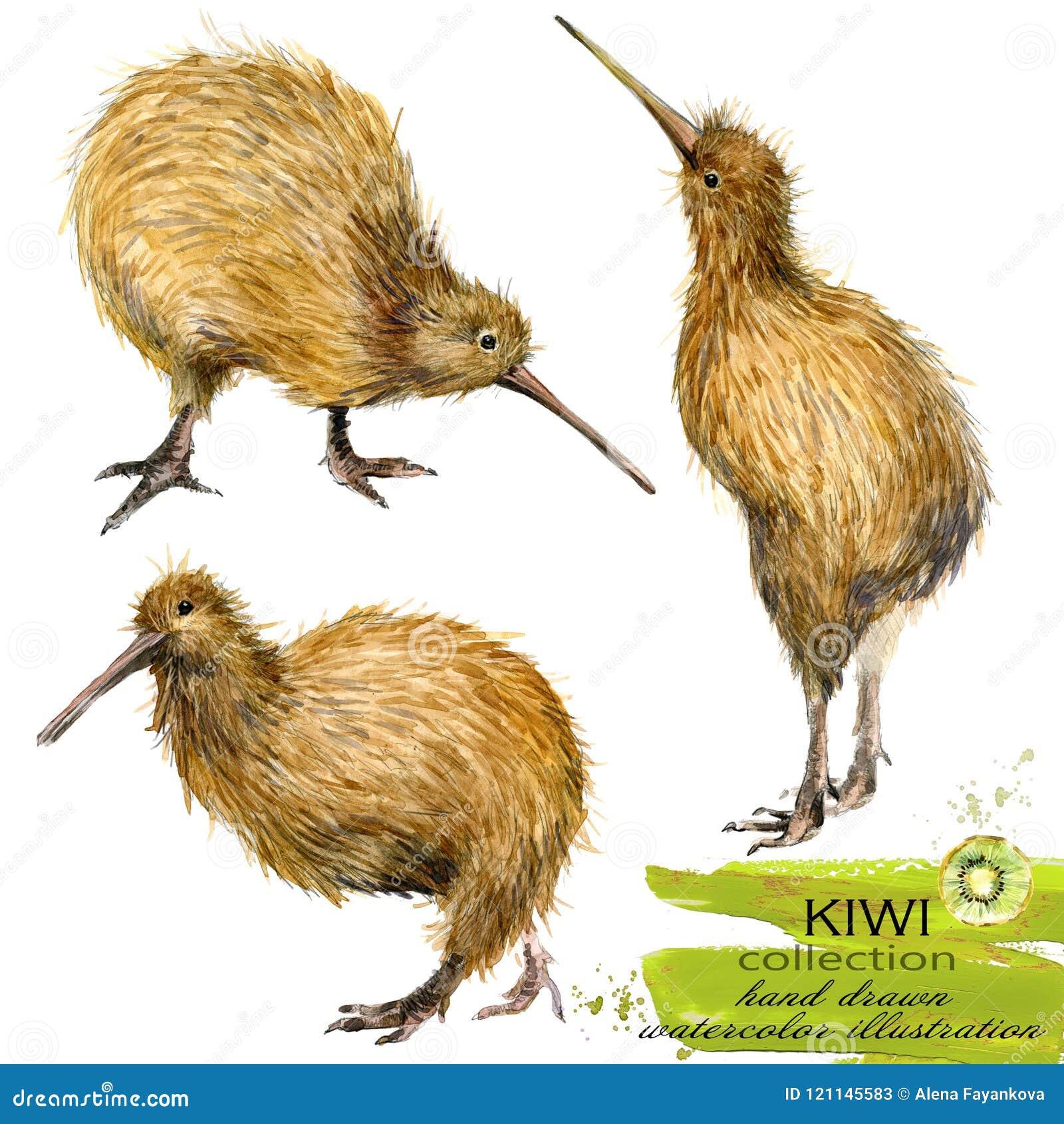 Kiwi Bird Hand Drawn Watercolor Illustration Stock