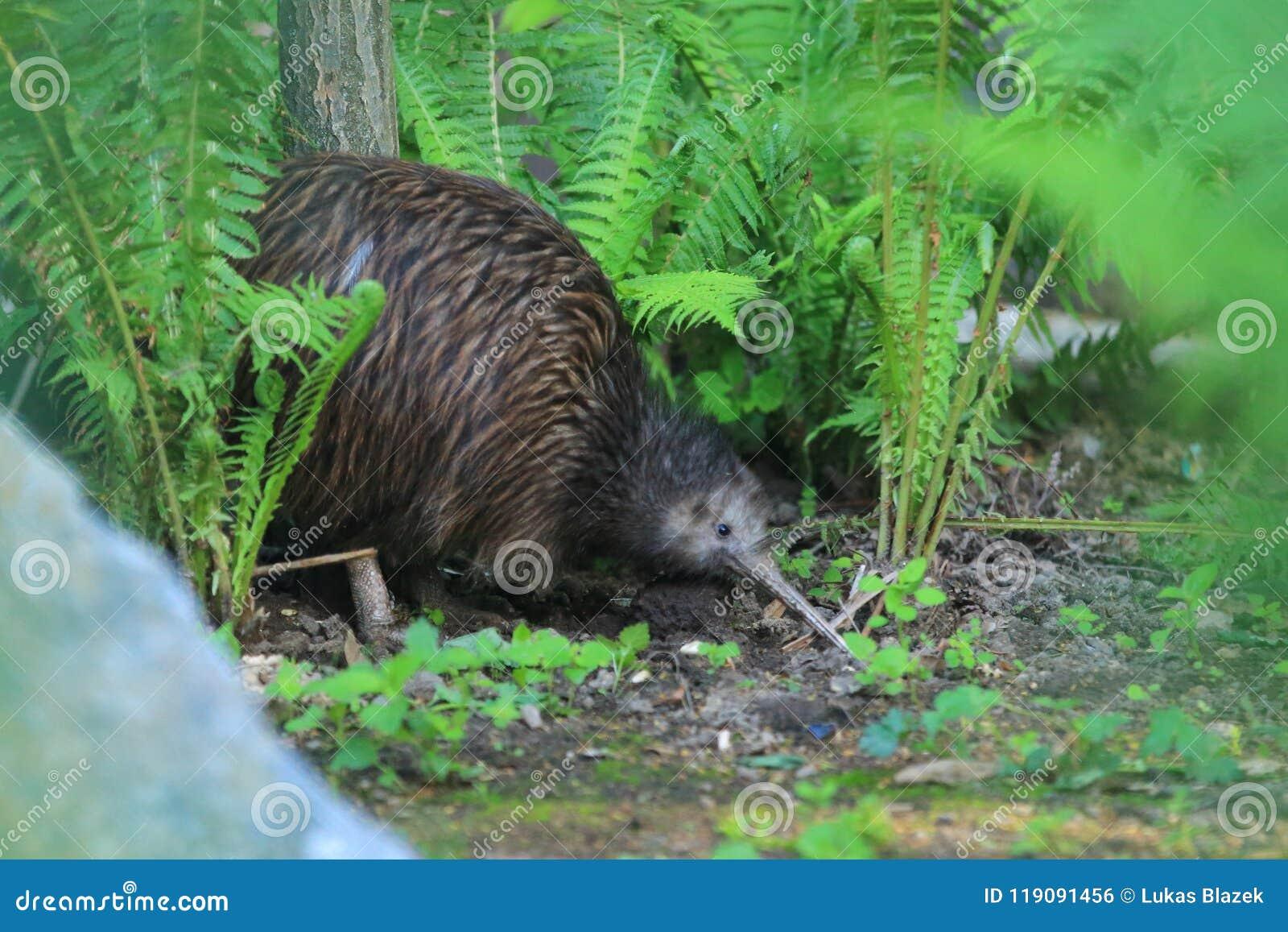 Kiwi brun du nord