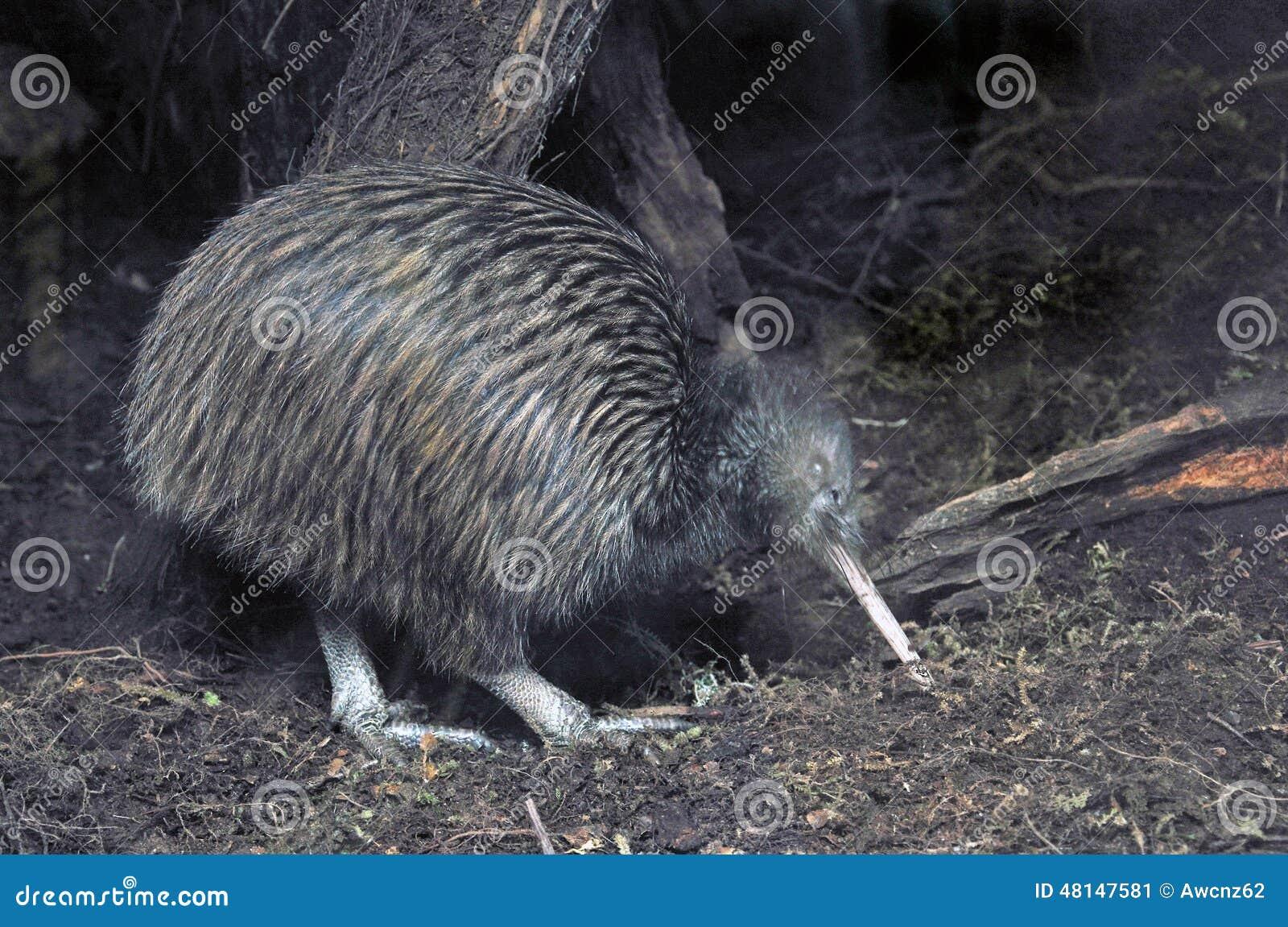 Kiwi in bush