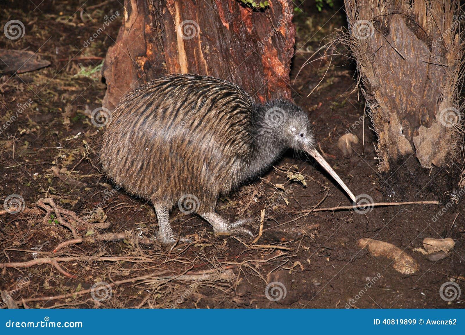 Kiwi dans le buisson