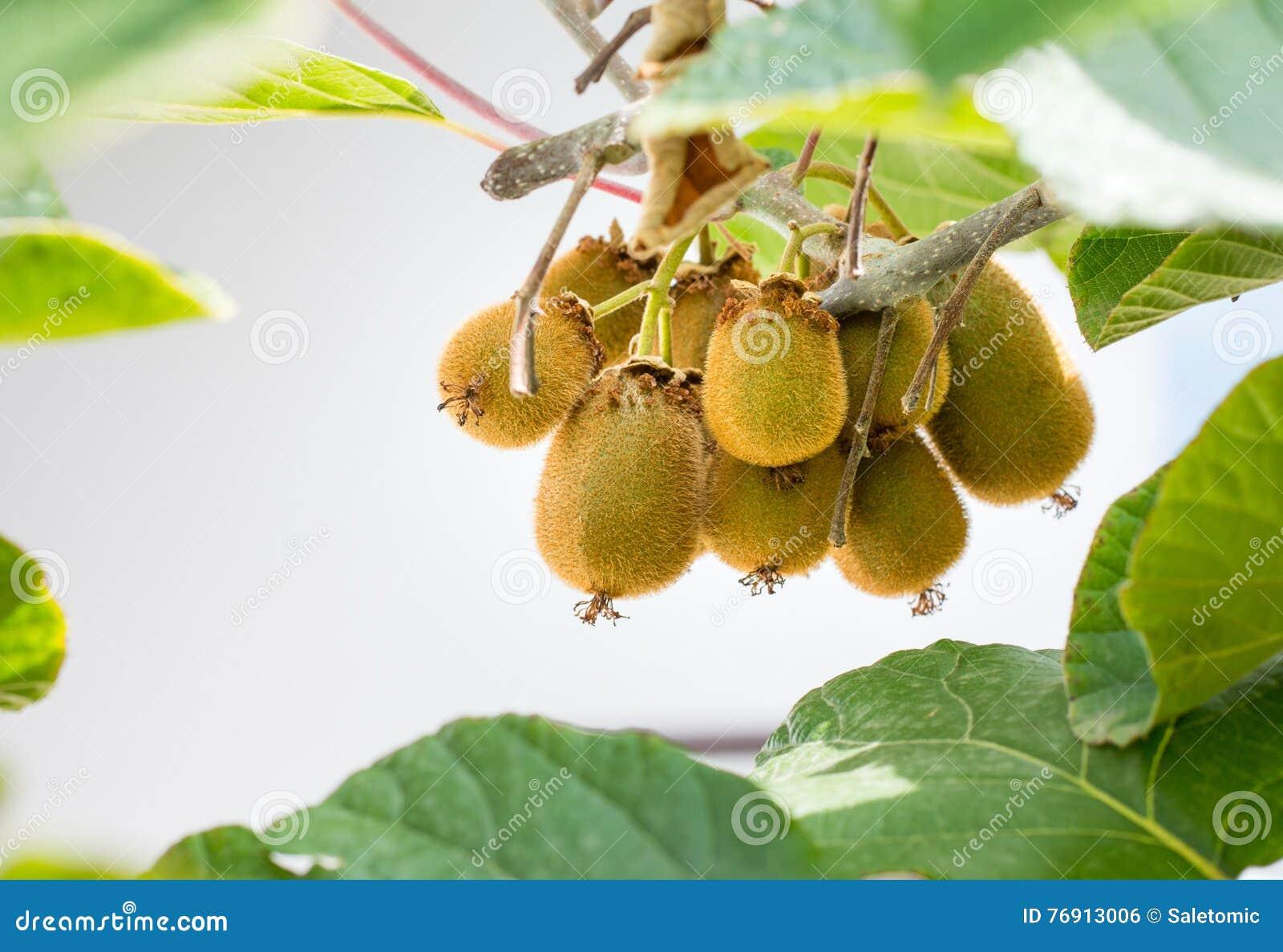 kiwi frais s'élevant sur un arbre photo stock - image du nature