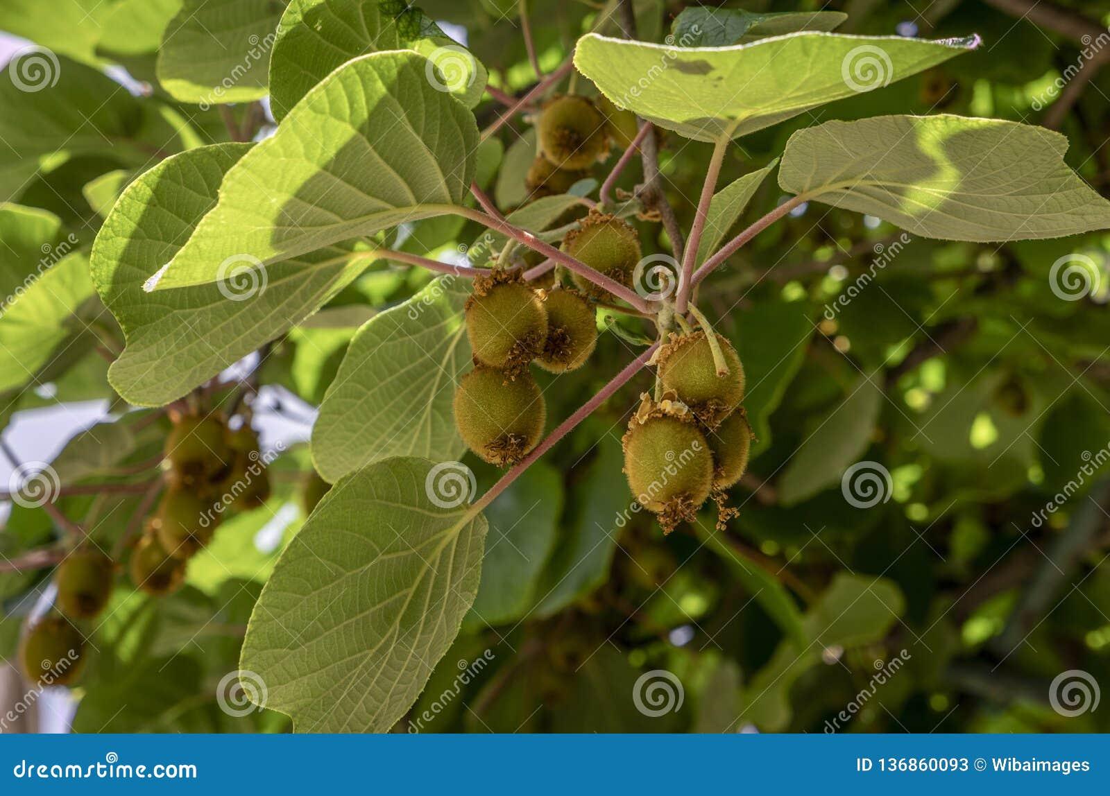 Kiwi Fruit, Actinidia deliciosa