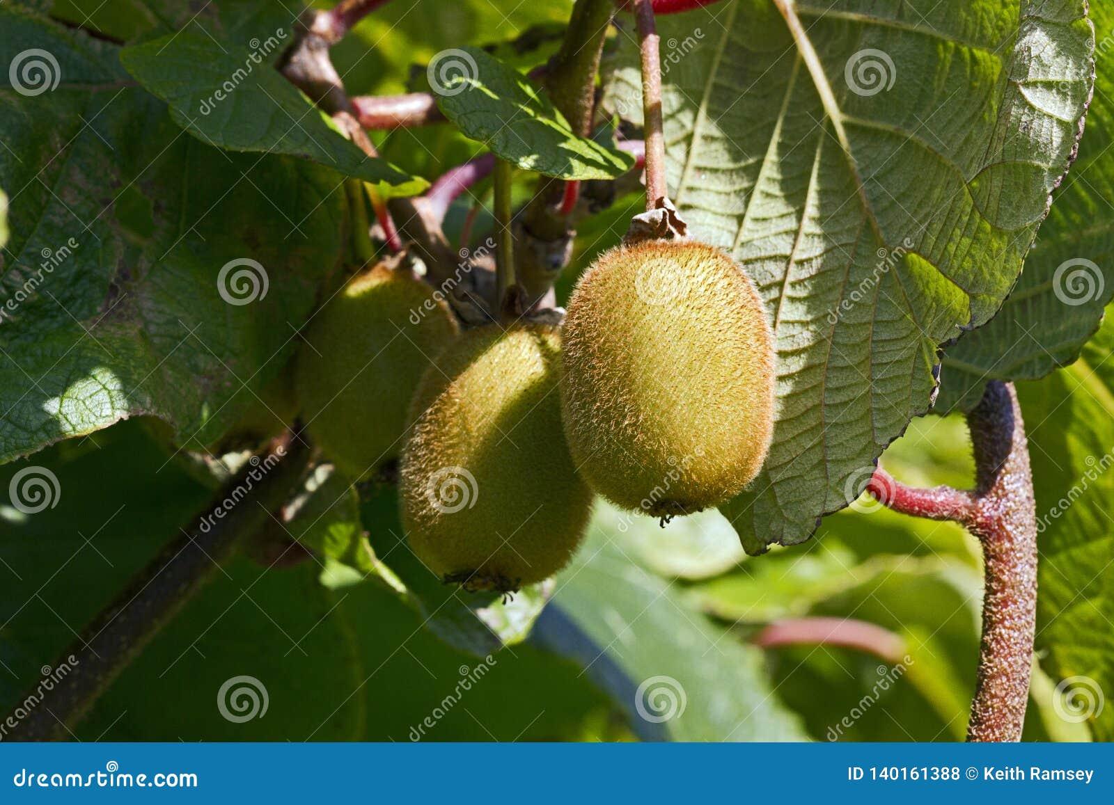 Kiwi Fruit Actinidia-deliciosa