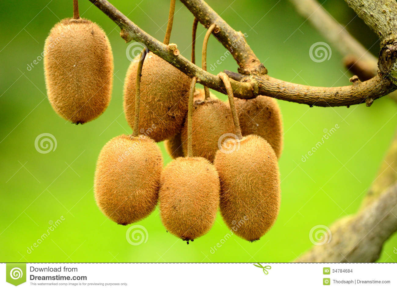 kiwi fruit tree stock photos, images,  pictures   images, Beautiful flower