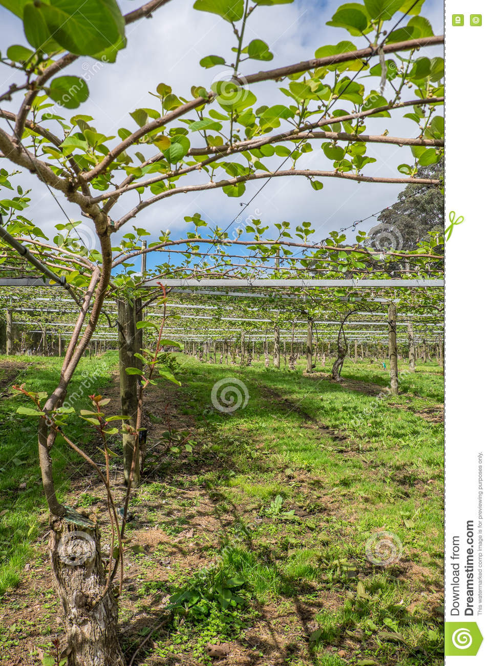 Images Of Kiwi Fruit Vines
