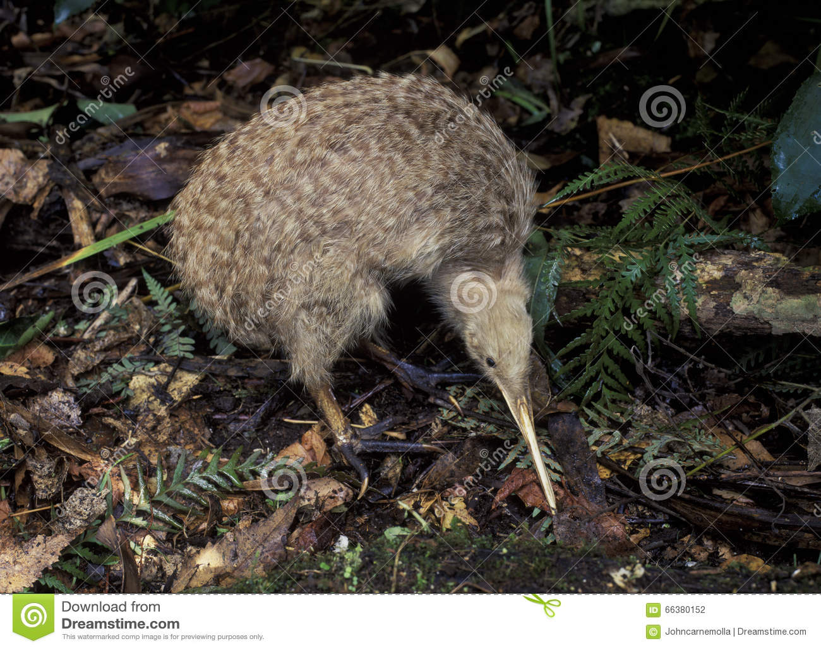 Kiwi repéré peu