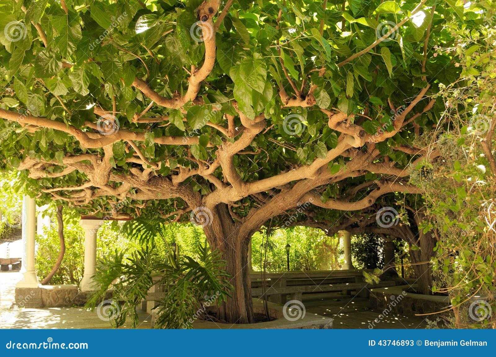 kiwi tree image stock. image du objets, arbre, été, vert - 43746893