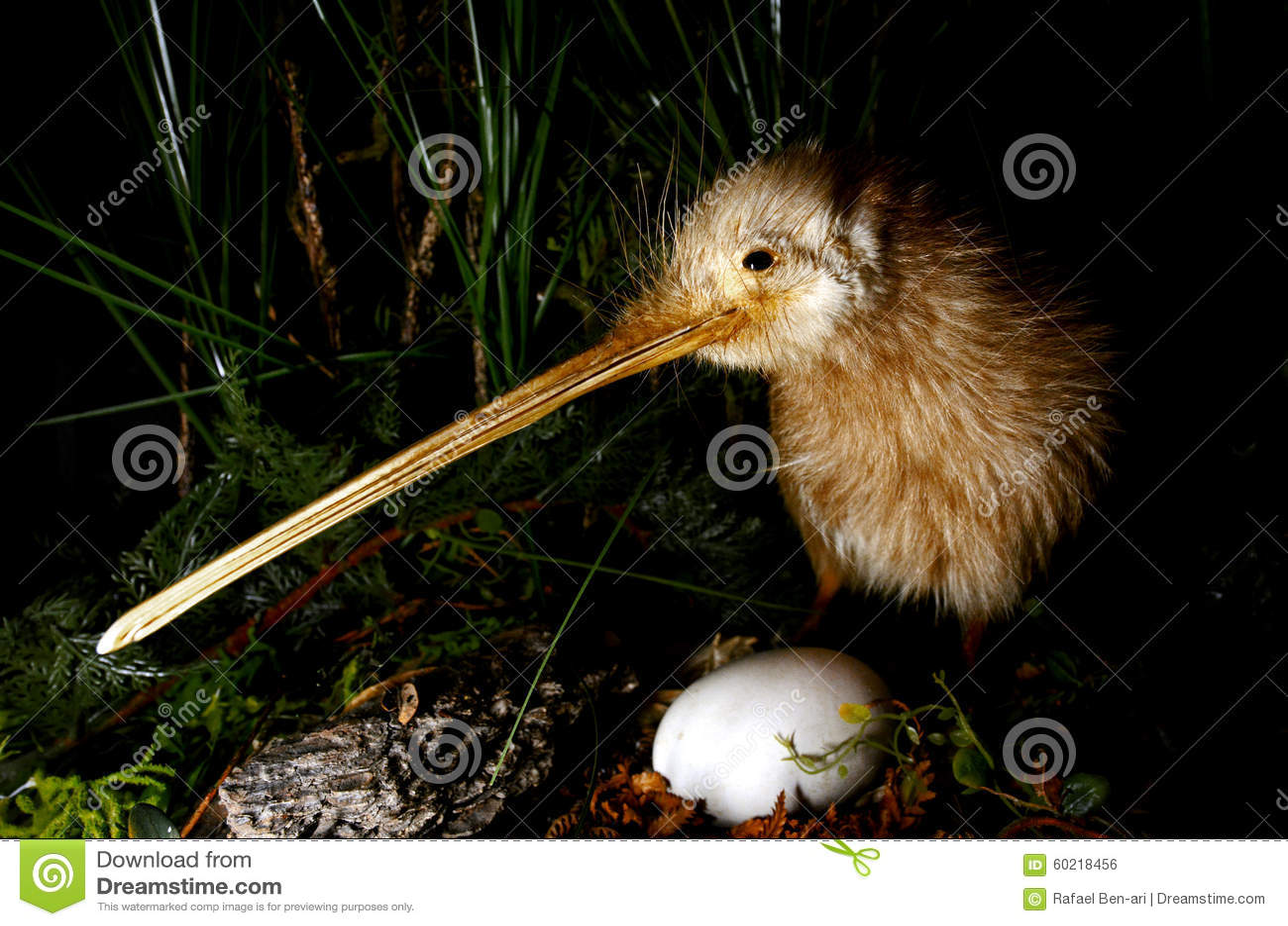 Kiwifågel och ett ägg