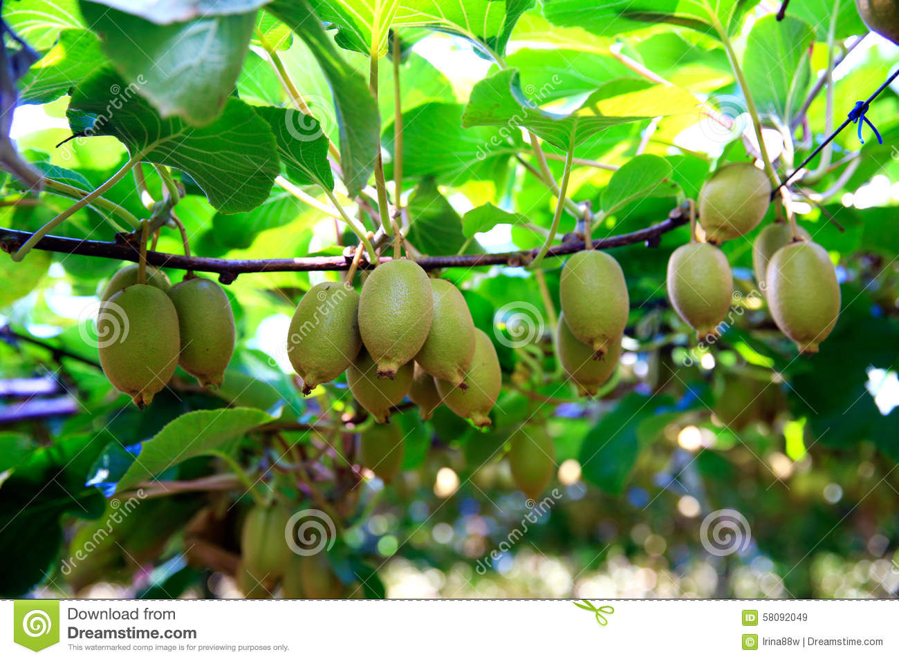 Kiwis growing in orchard in New Zealand.