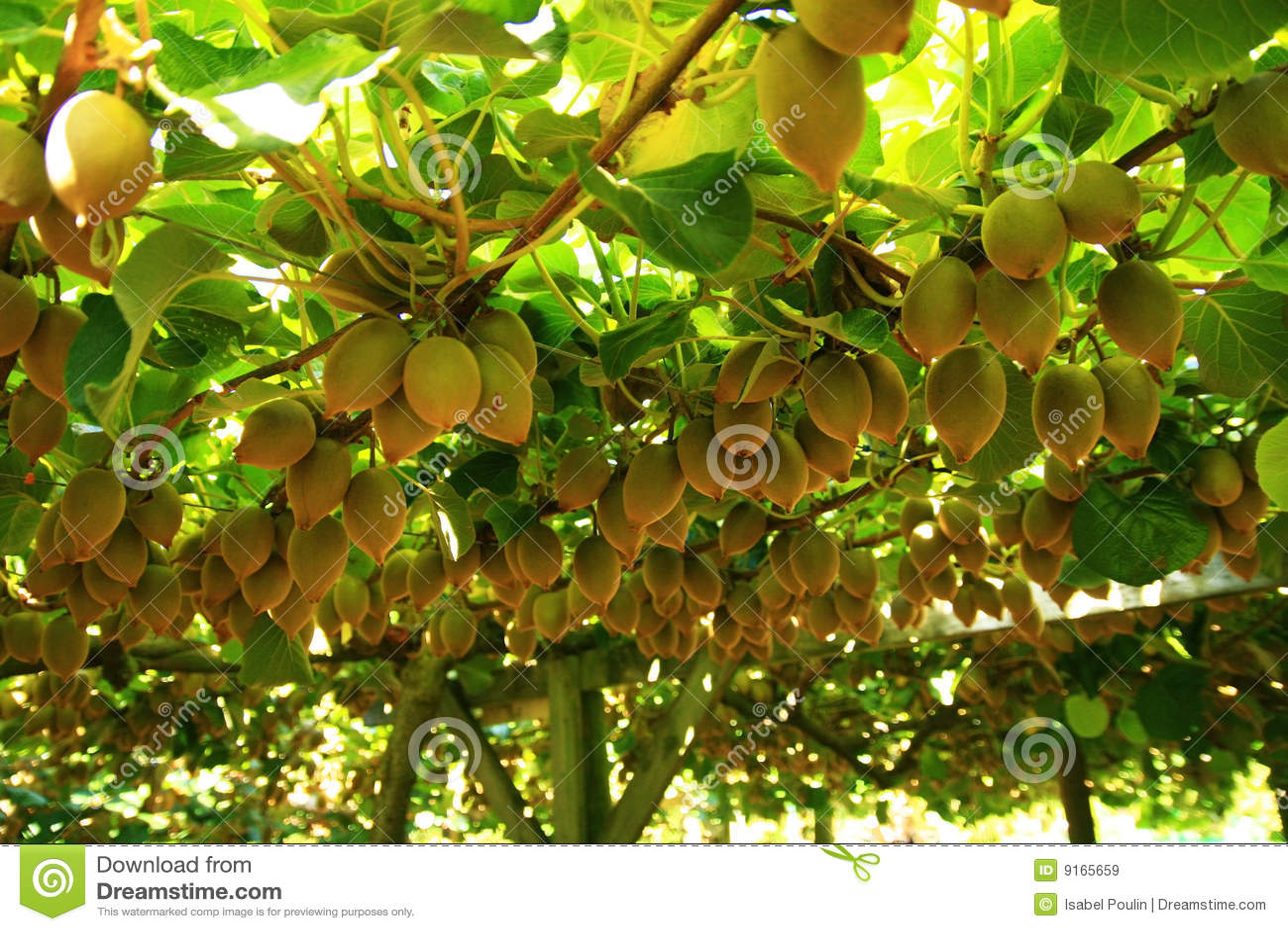 kiwis sur l'arbre image stock. image du délicieux, mûri - 9165659