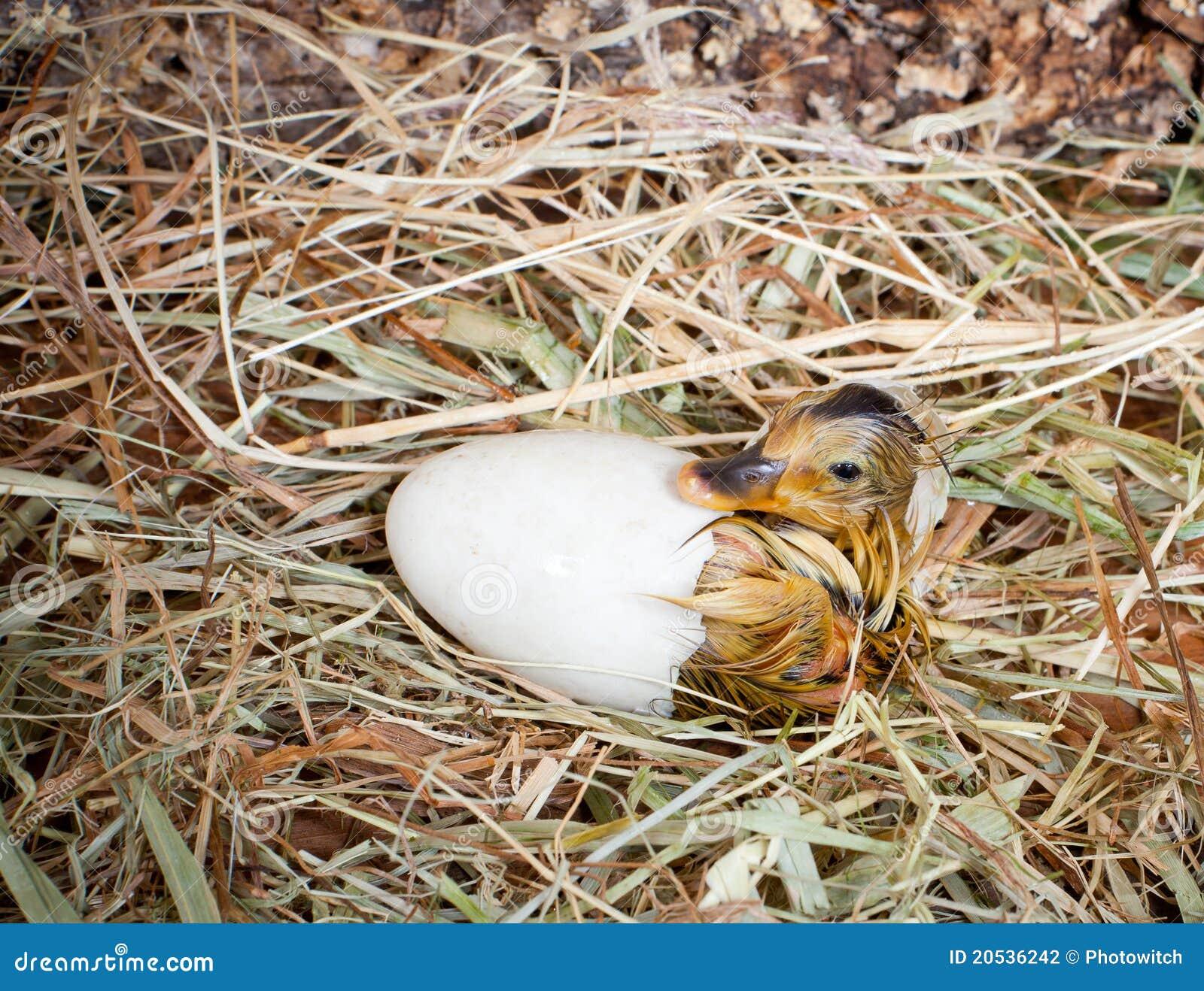 Kläcka för duckling