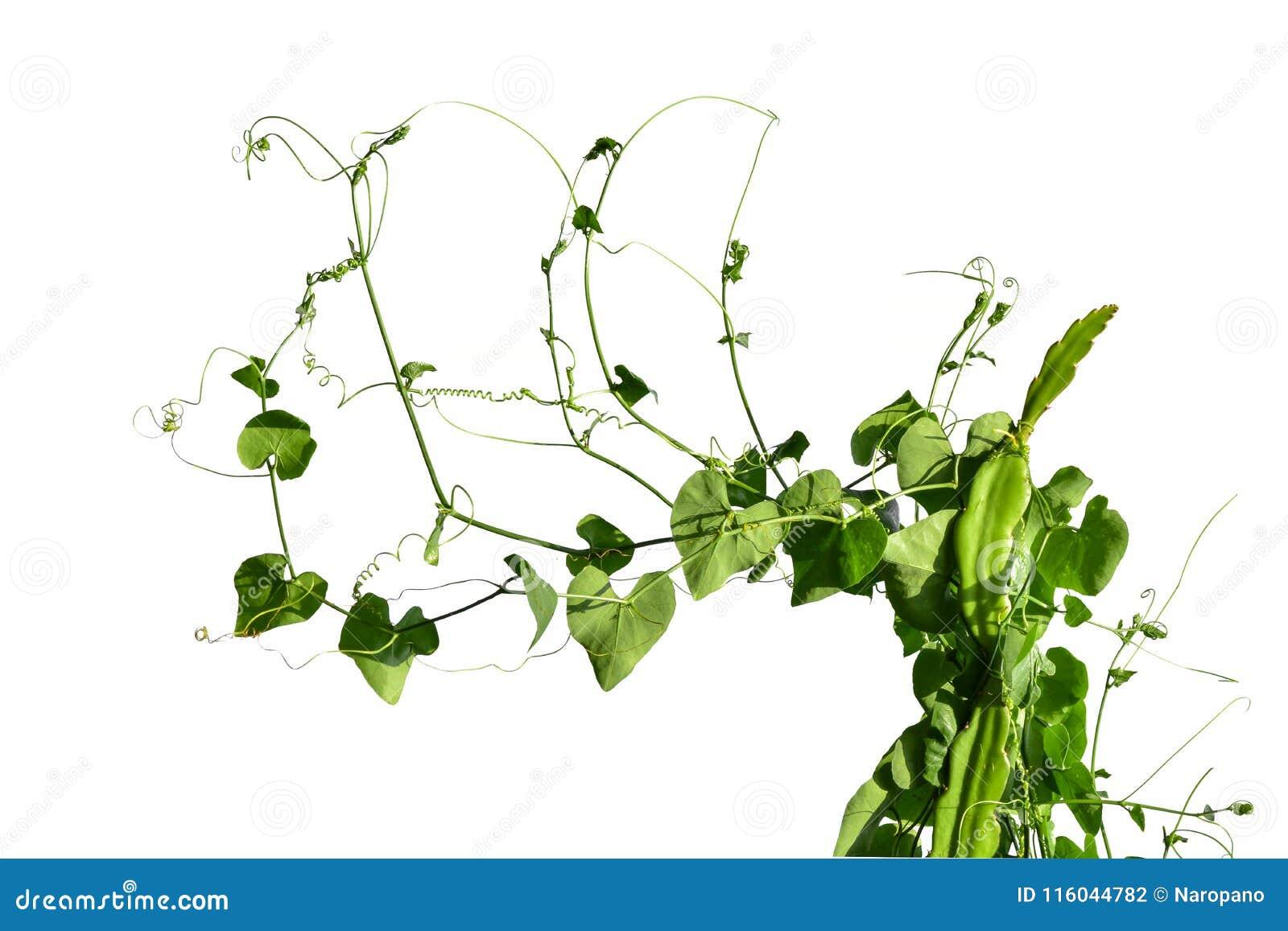 Klättring för vinrankaväxt som isoleras på vit bakgrund