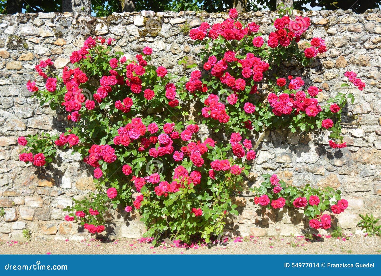 Klättring Rose Bush Growing On en vägg