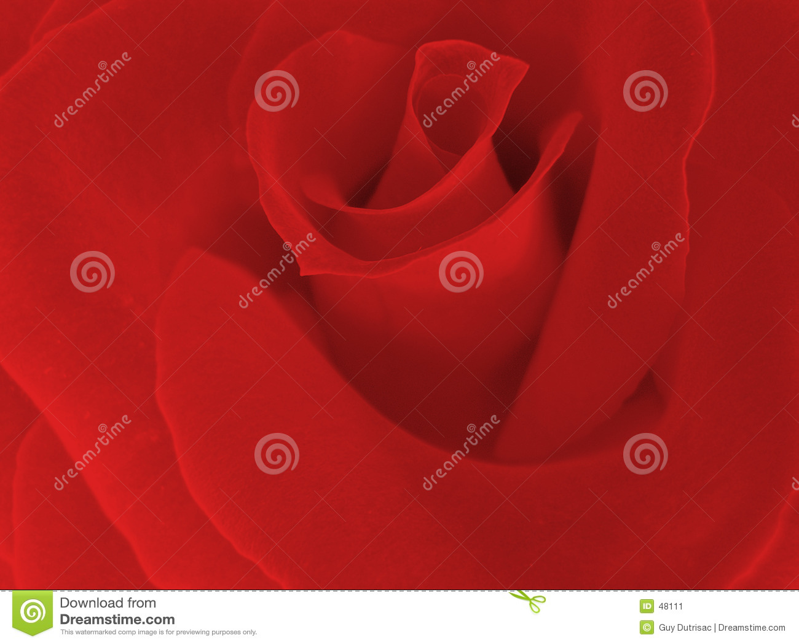 Klare rote Rose