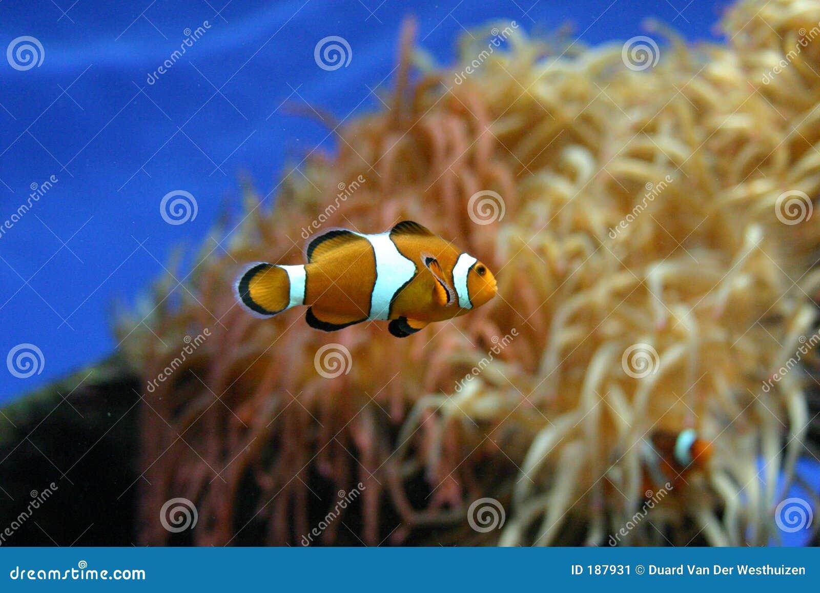Klaunie ryby