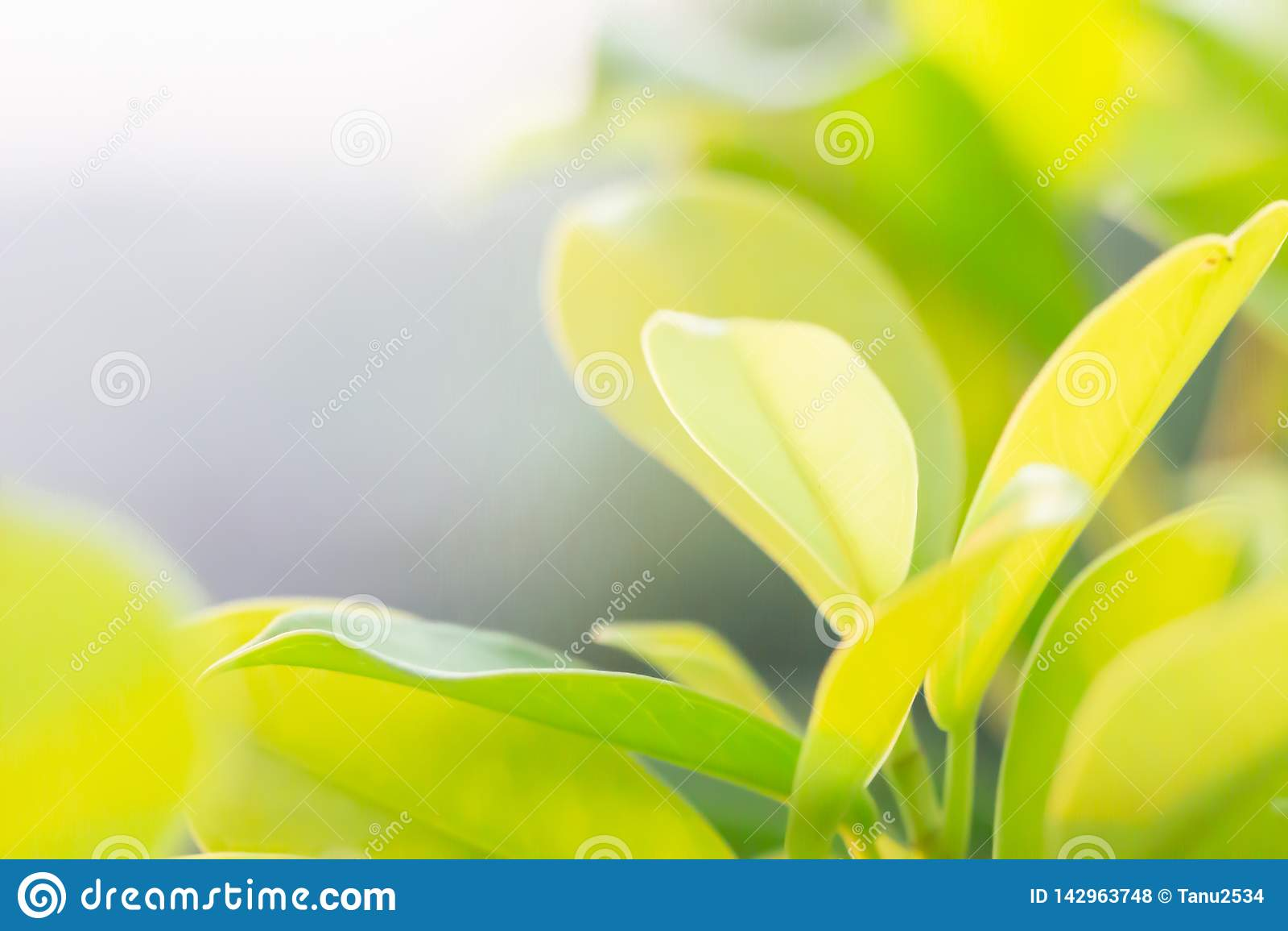 Klee-Blätter für grünen Hintergrund mit drei-leaved Shamrocks