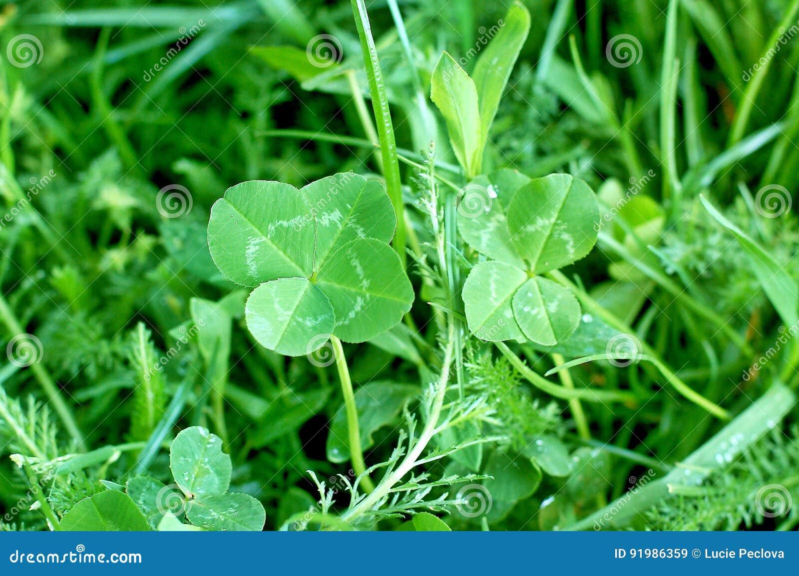 Klee mit vier Blättern, Symbol des guten Glücks