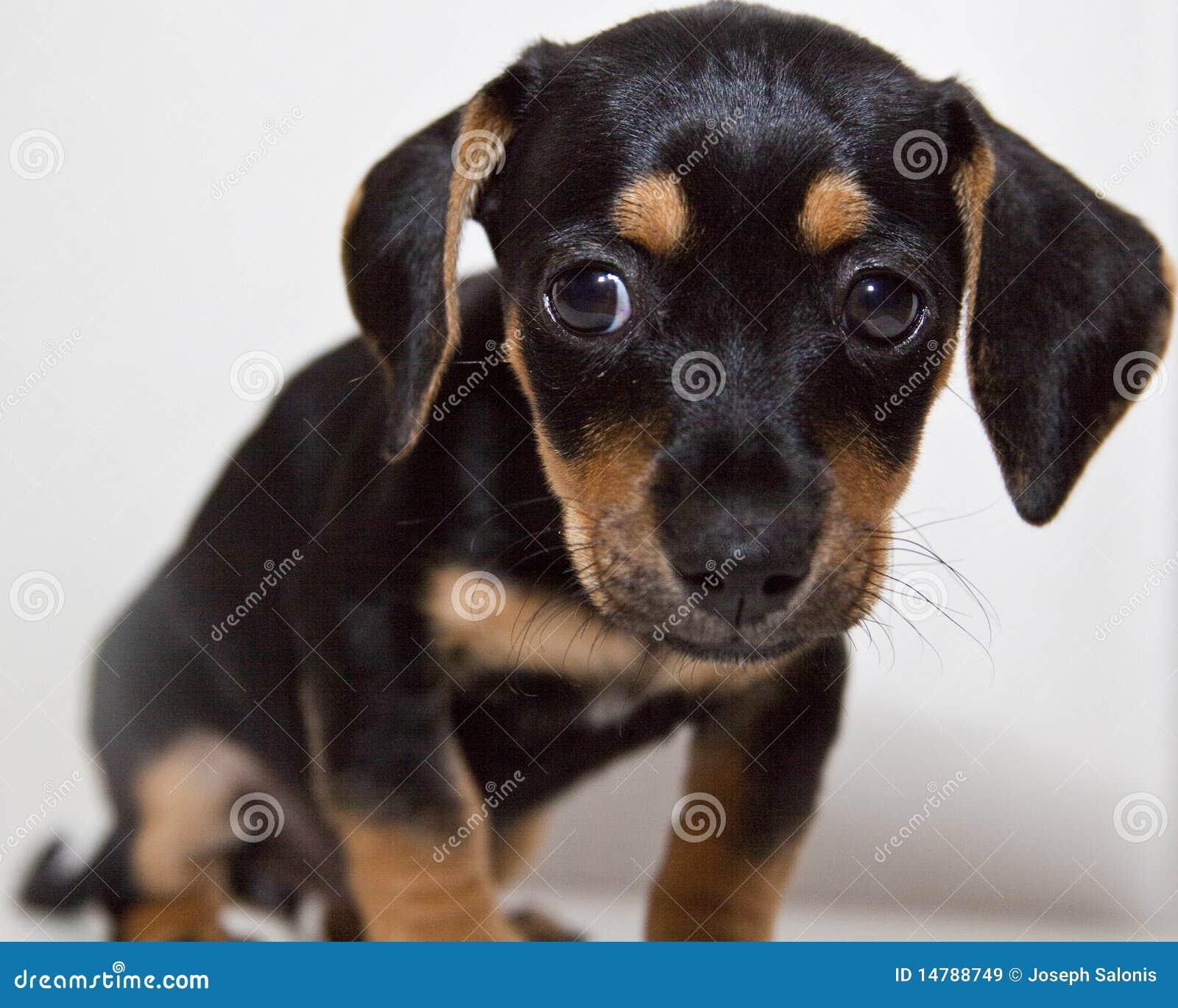 klein zwart en tan puppy met slappe oren stock afbeelding