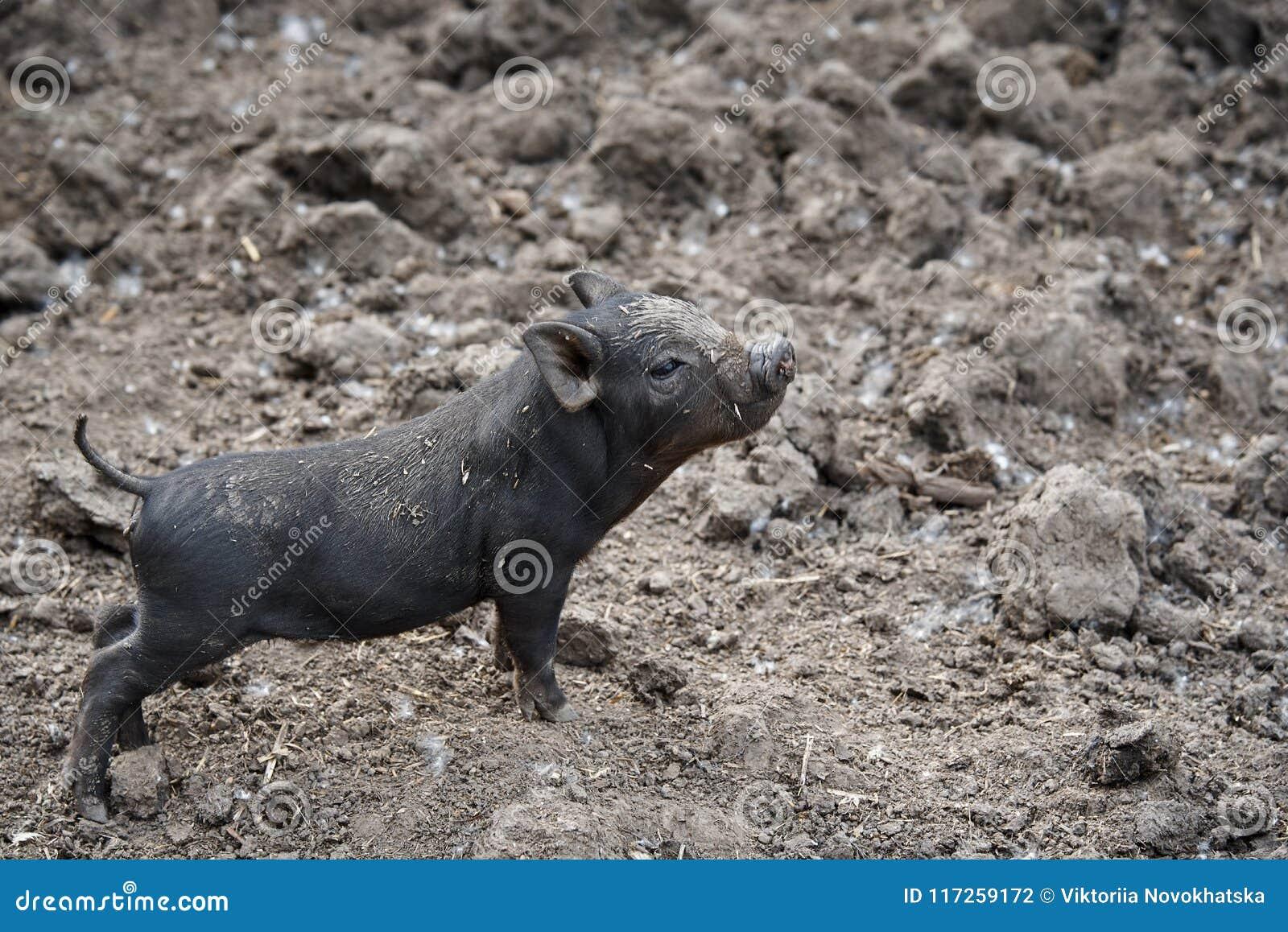 Klein zwart vuil trots varken
