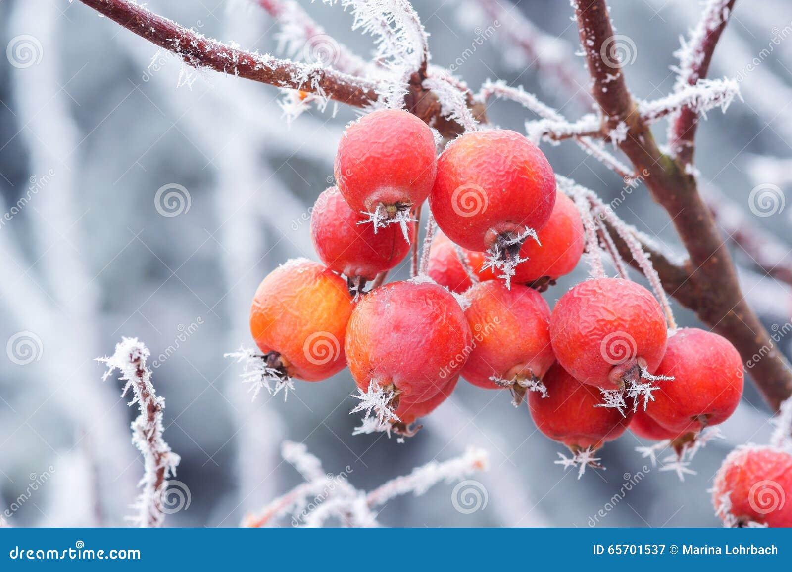 Ganz und zu Extrem Kleine Äpfel Im Winter Mit Eisnadeln Stockbild - Bild von apfel @NV_71