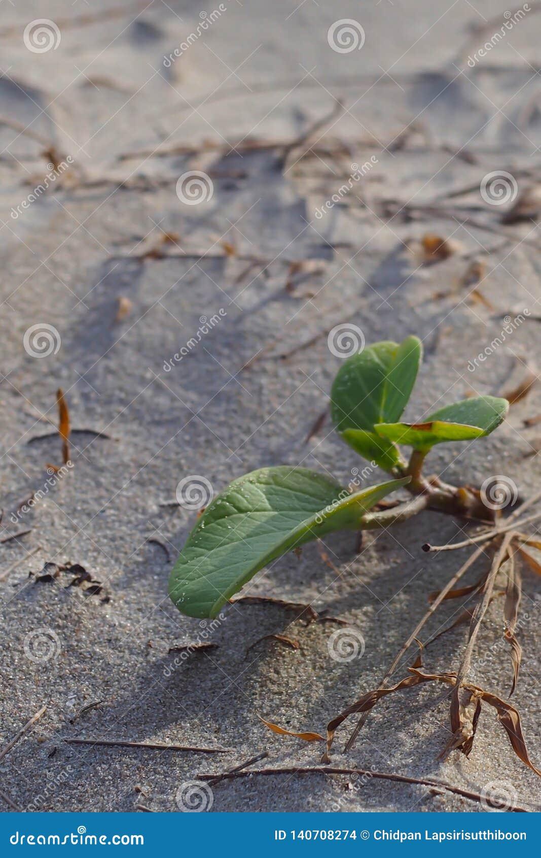 Kleine Bäume, die im Sand des Strandes wachsen