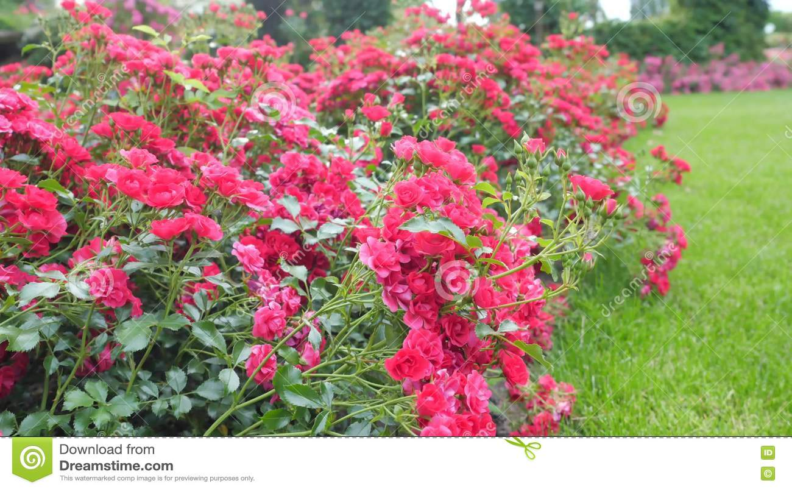 Kleine büsche mit roten rosen kamera bewegung entlang bush stock