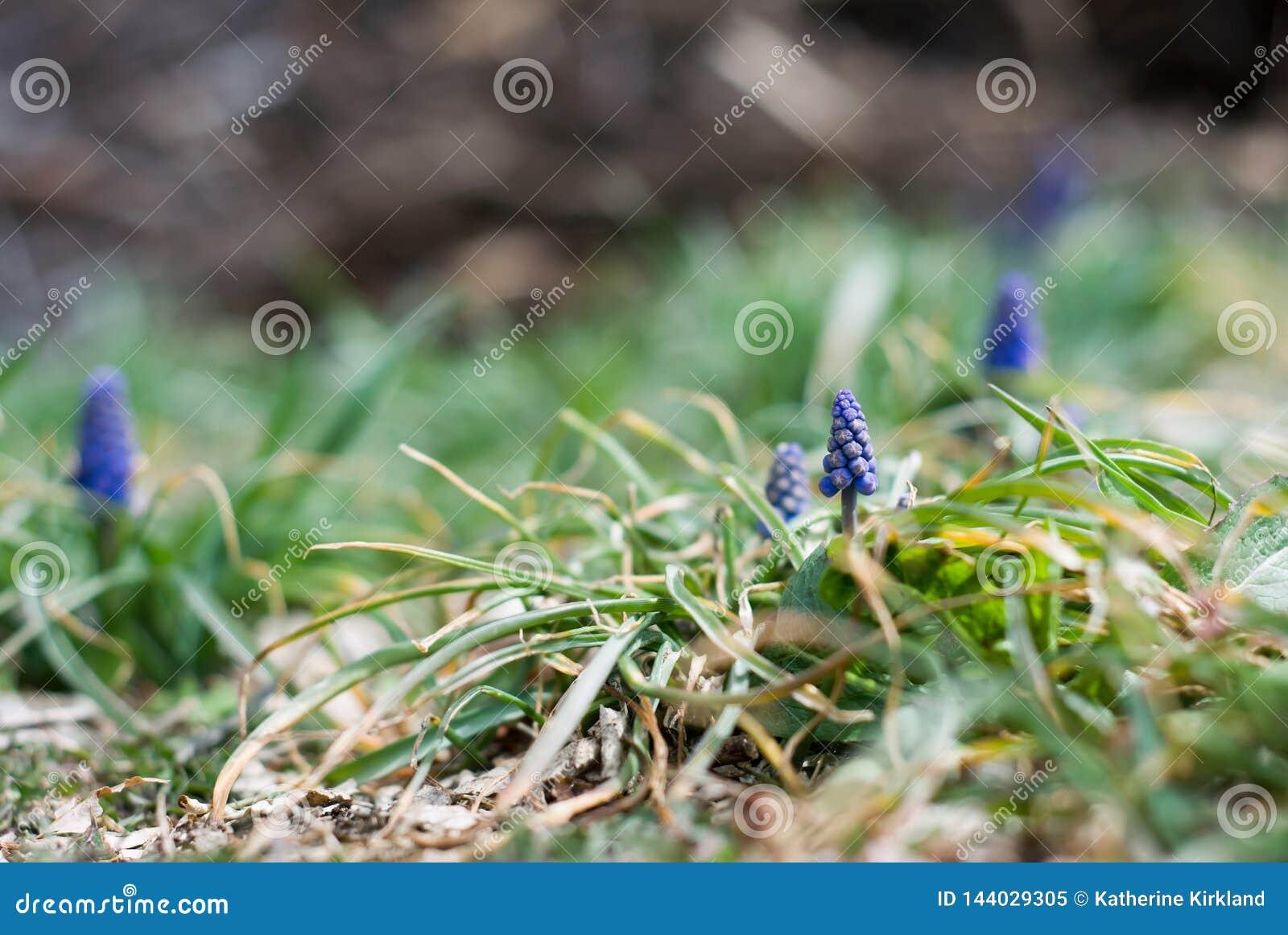 Kleine blaue Traube Hyacinth Buds