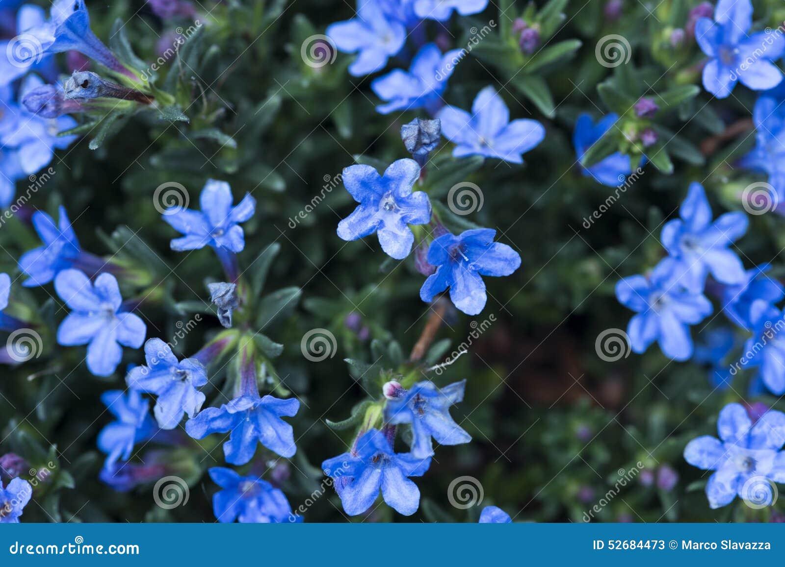 Kleine blauwe bloemen