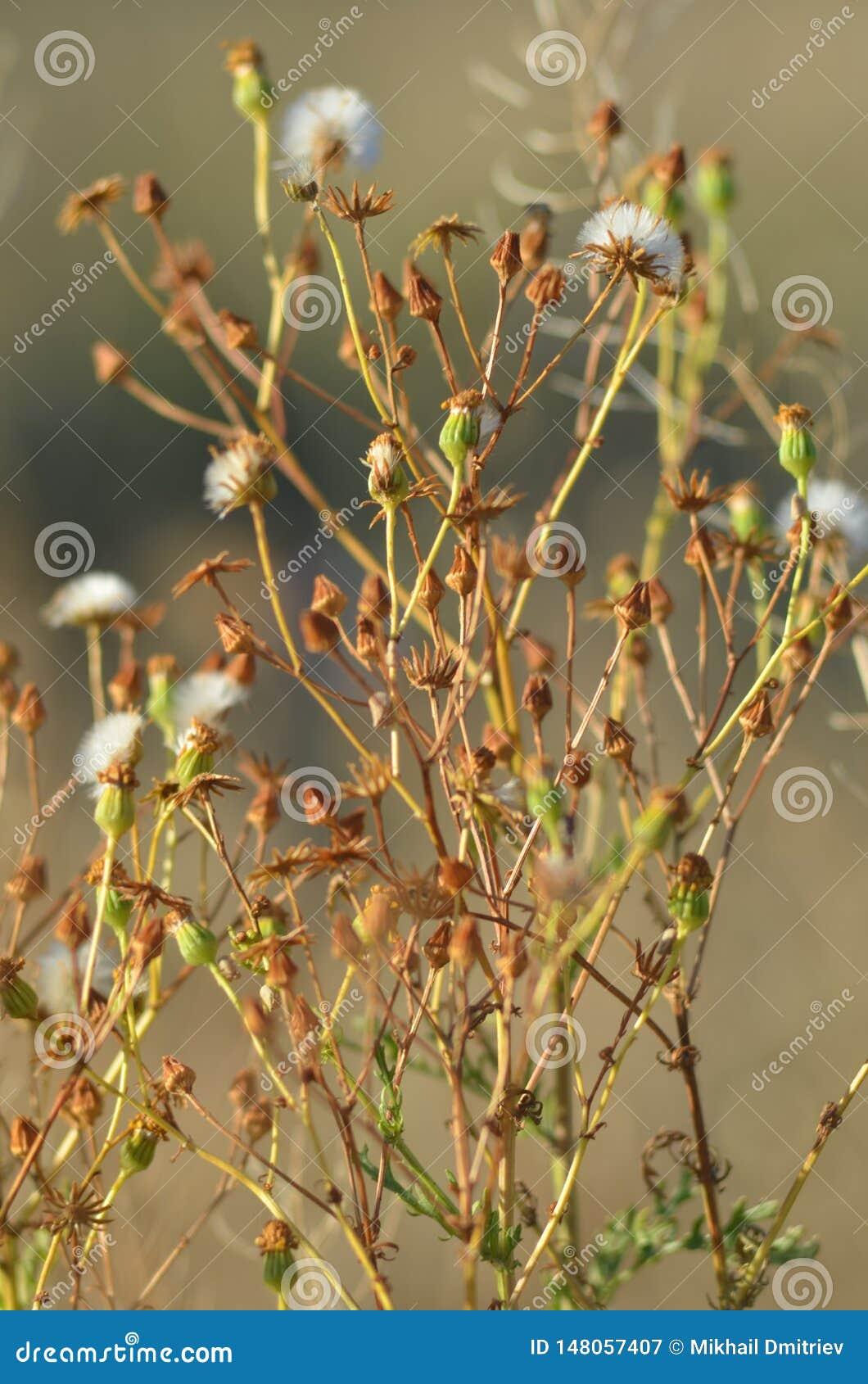 Kleine Blumen, schöner Weinlesehintergrund des Löwenzahns, Natursolarbeleuchtung