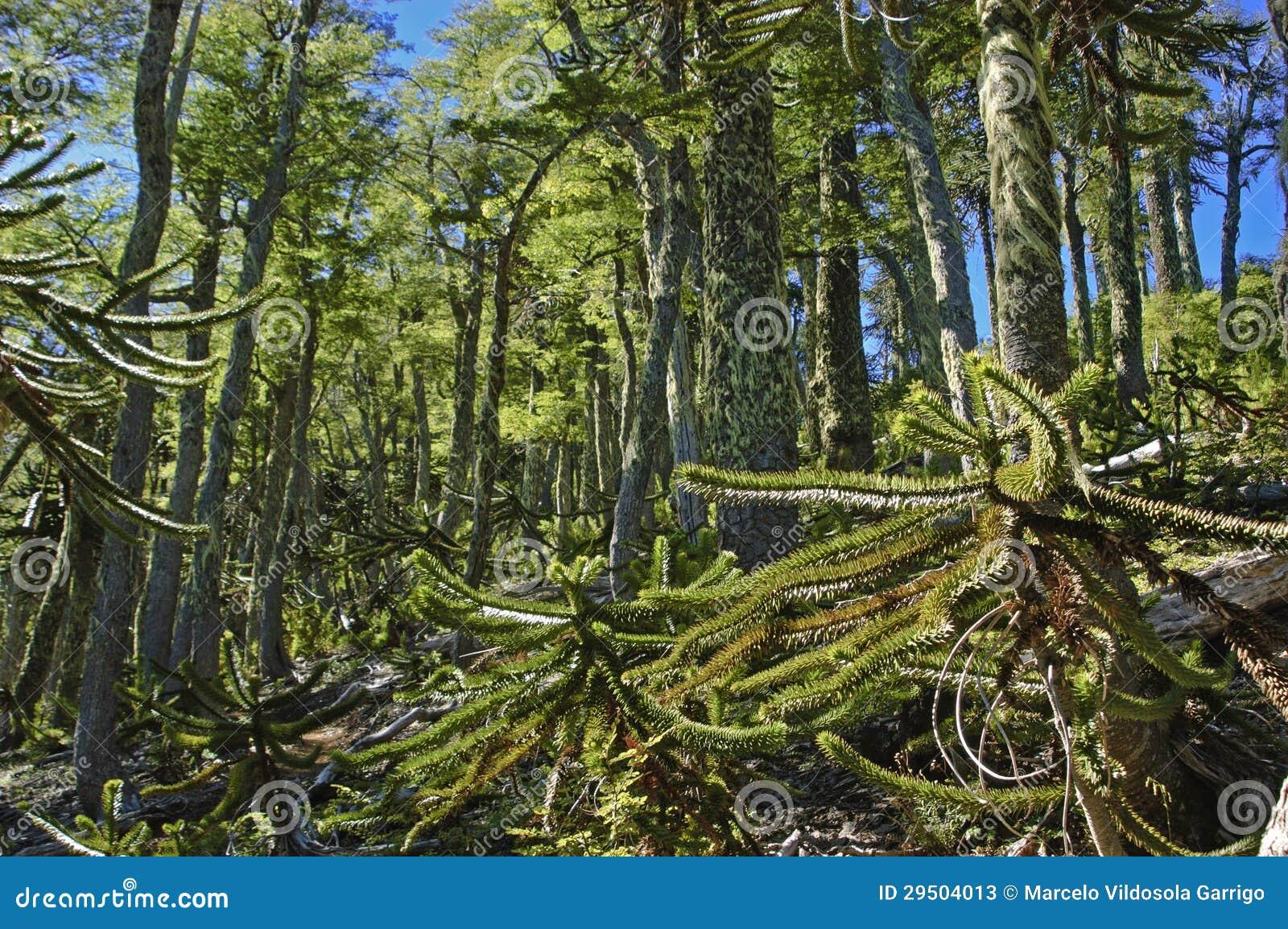 Kleine bomenaraucrias