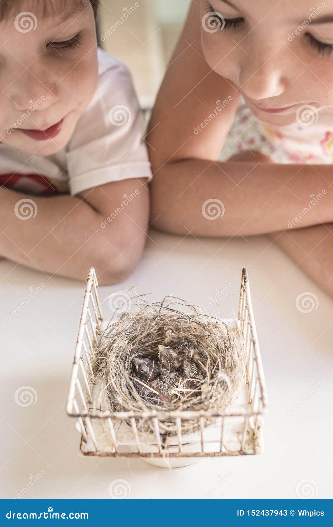 Kleine broers die nest met twee kuikens van distelvink waarnemen